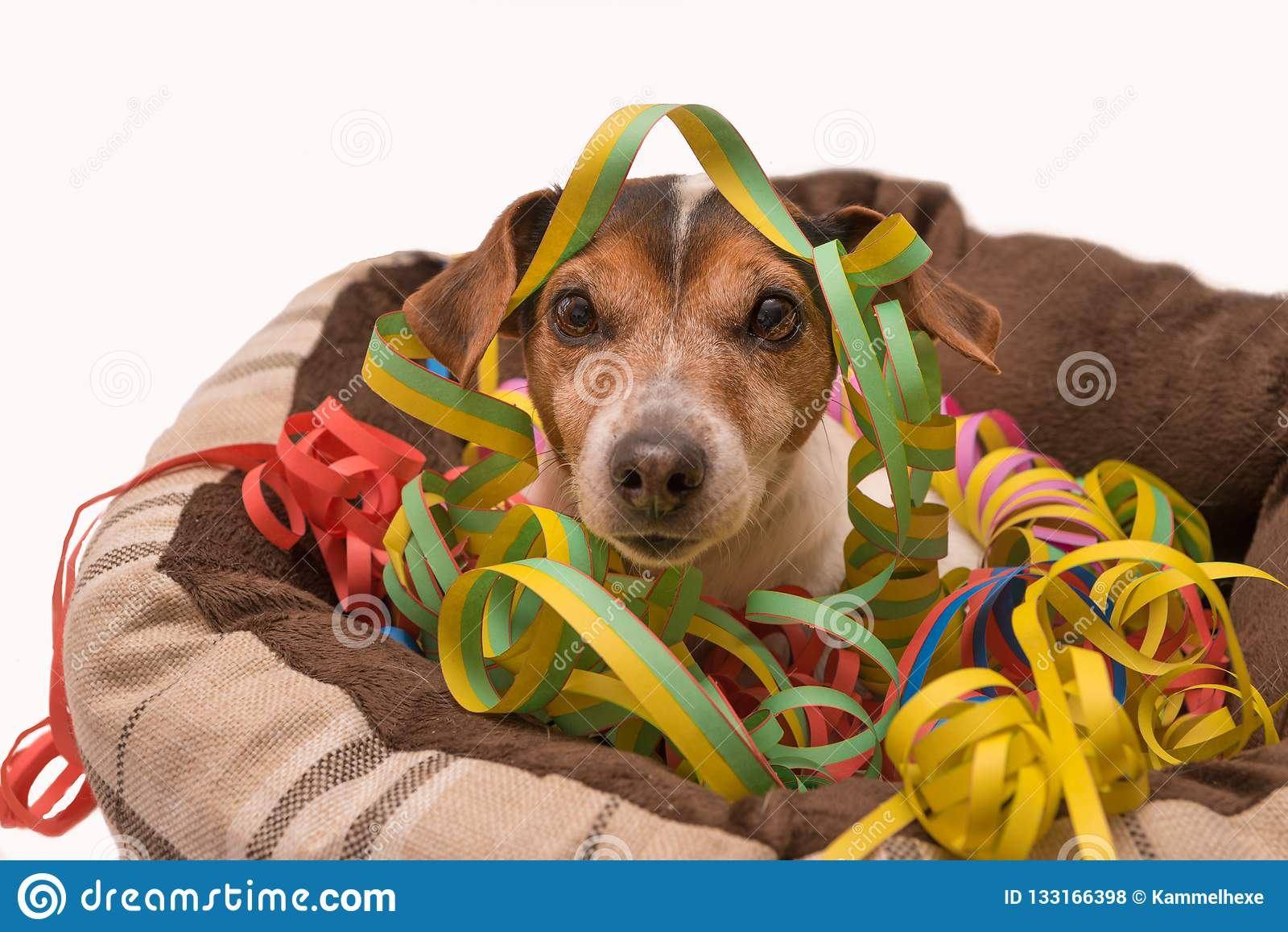 Perro de Jack Russell del carnaval