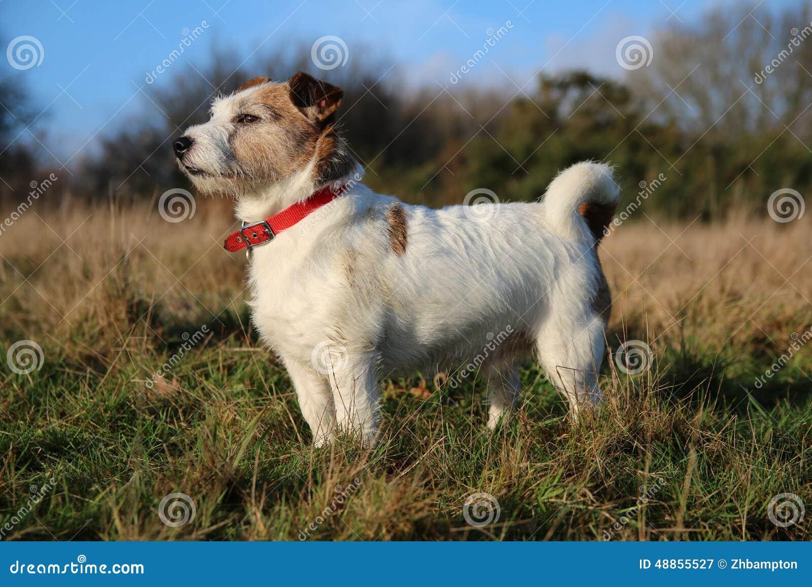 Perro de Jack Russell en campo