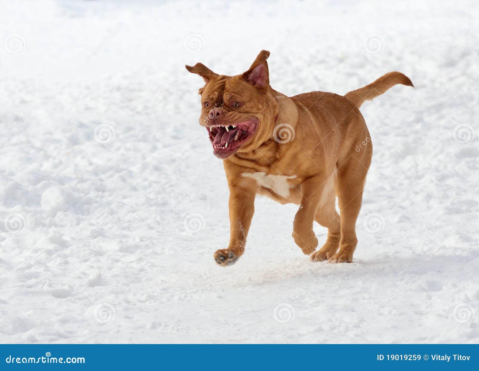 Perro de la casta francesa del mastín que se ejecuta en nieve