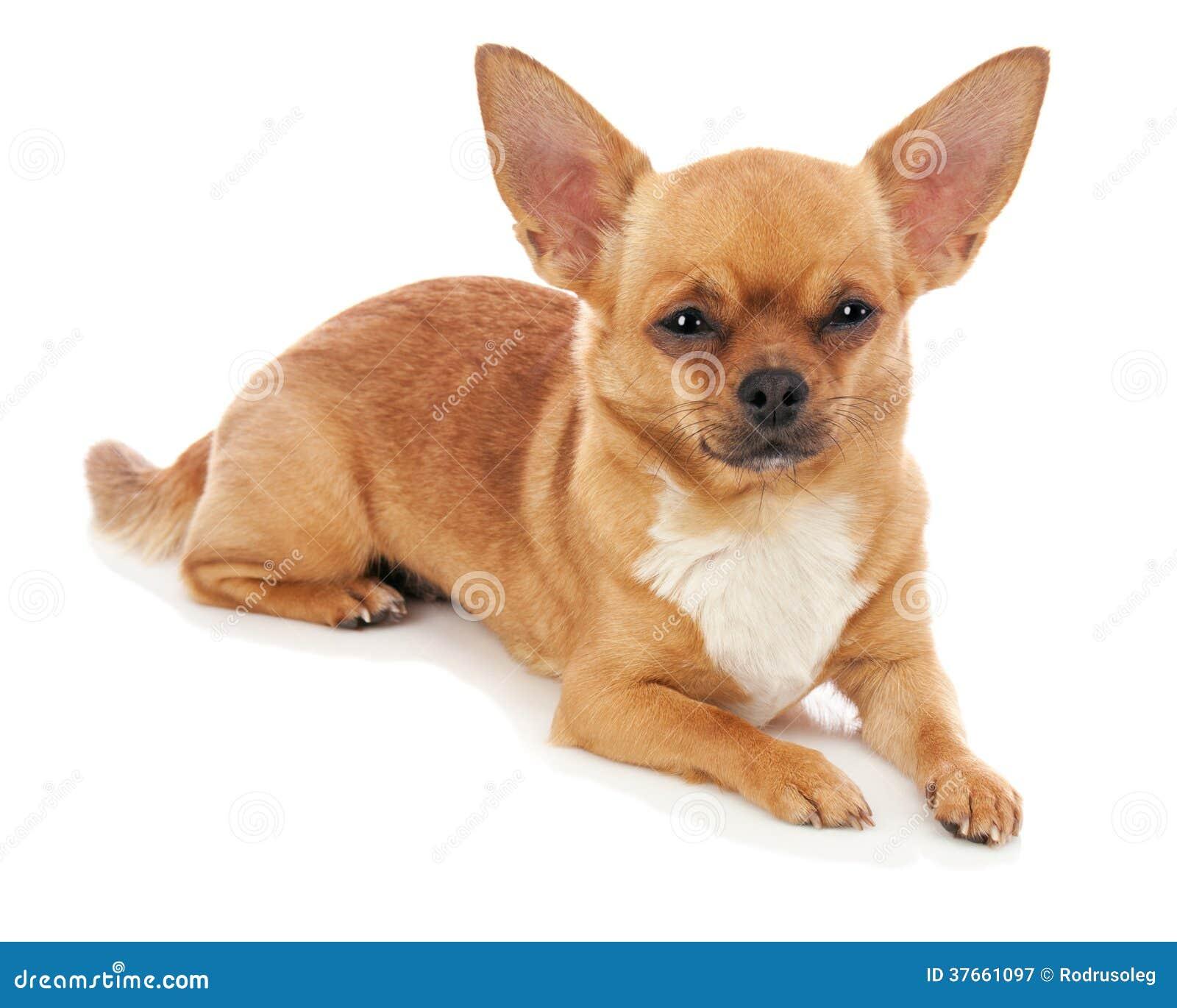 perro chihuahua fondo de -#main