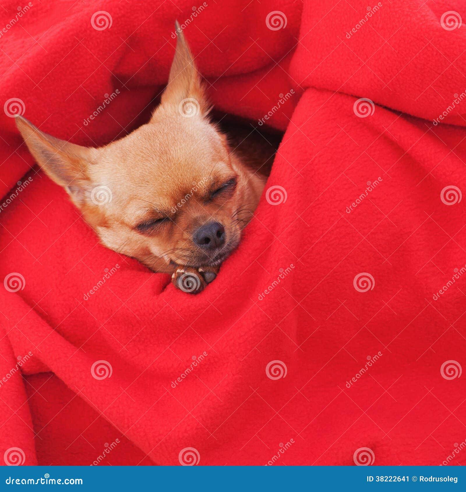 perro chihuahua fondo de - photo #4