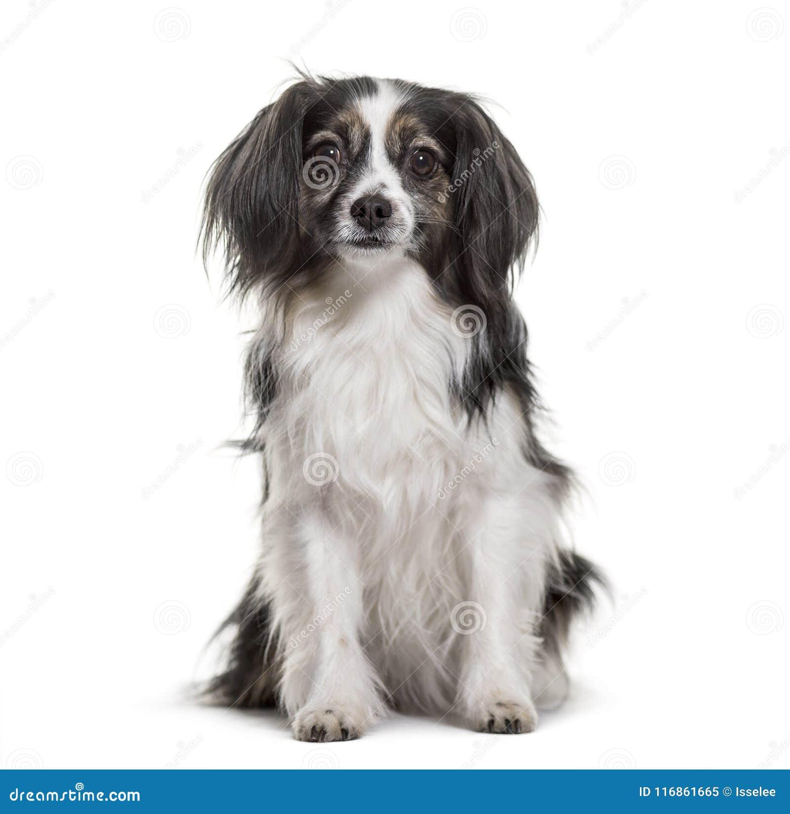 Perro de la Mezclado-raza que se sienta contra el fondo blanco