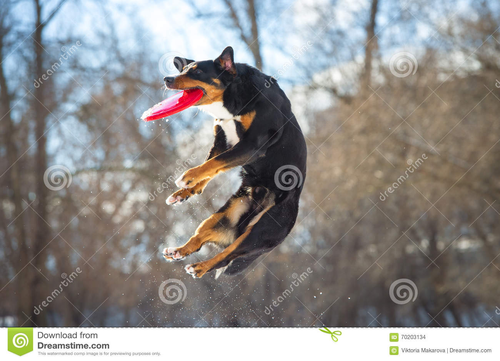 Perro de la montaña de Appenzeller del disco volador con el disco rojo del vuelo