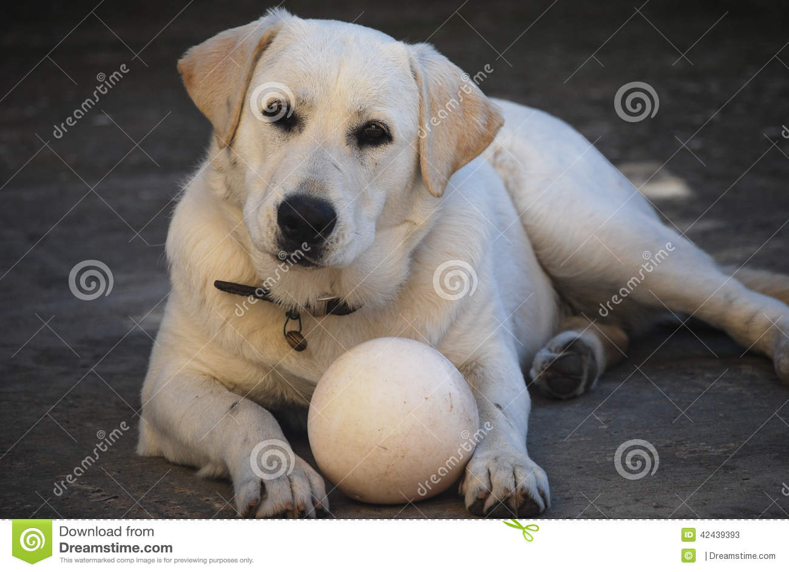 Perro de Labrador con la bola