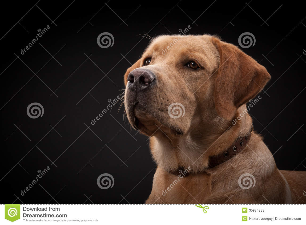 Perro de Labrador del golden retriever