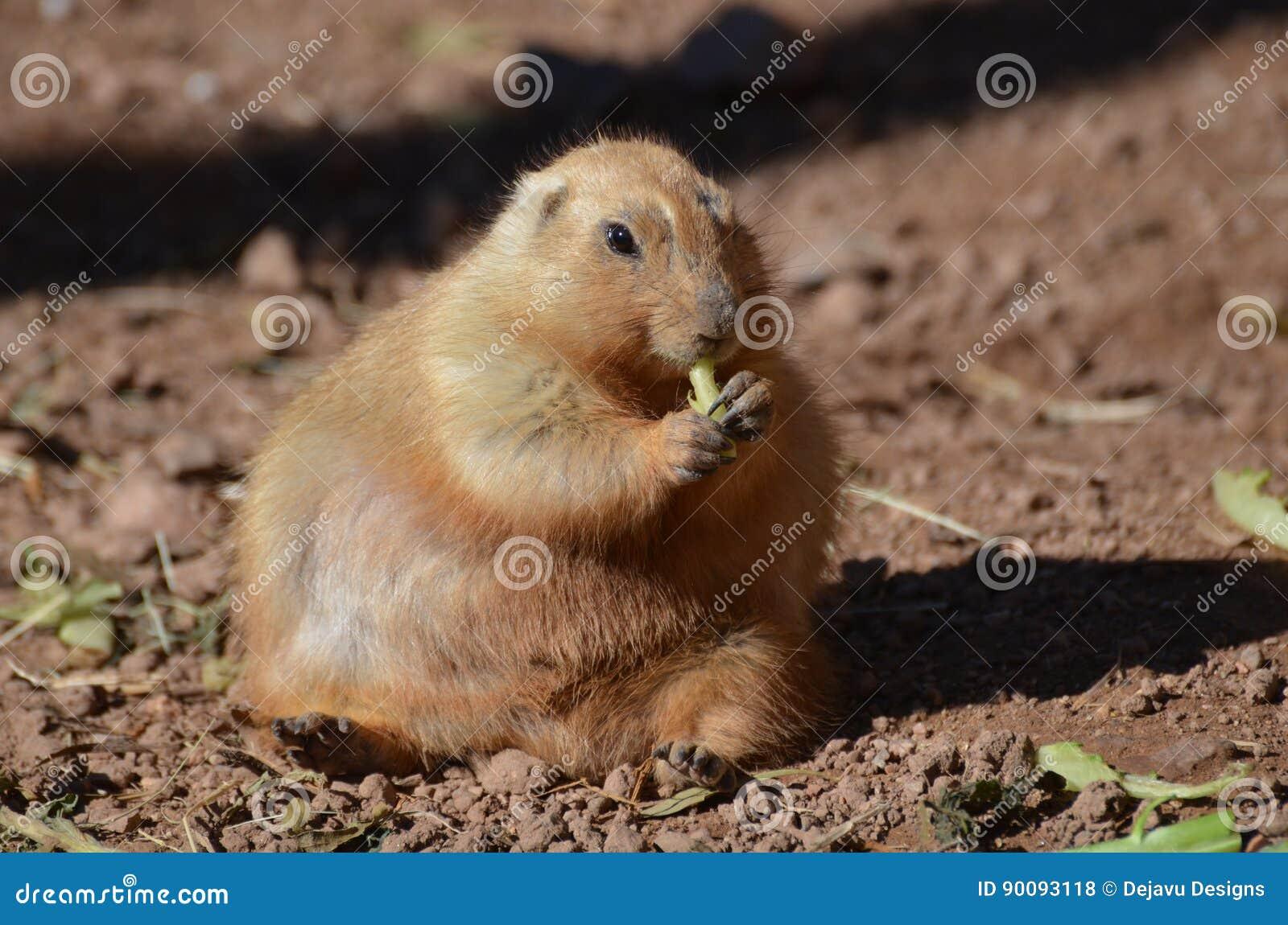 Perro de las praderas gordo que come entusiasta algunos verdes