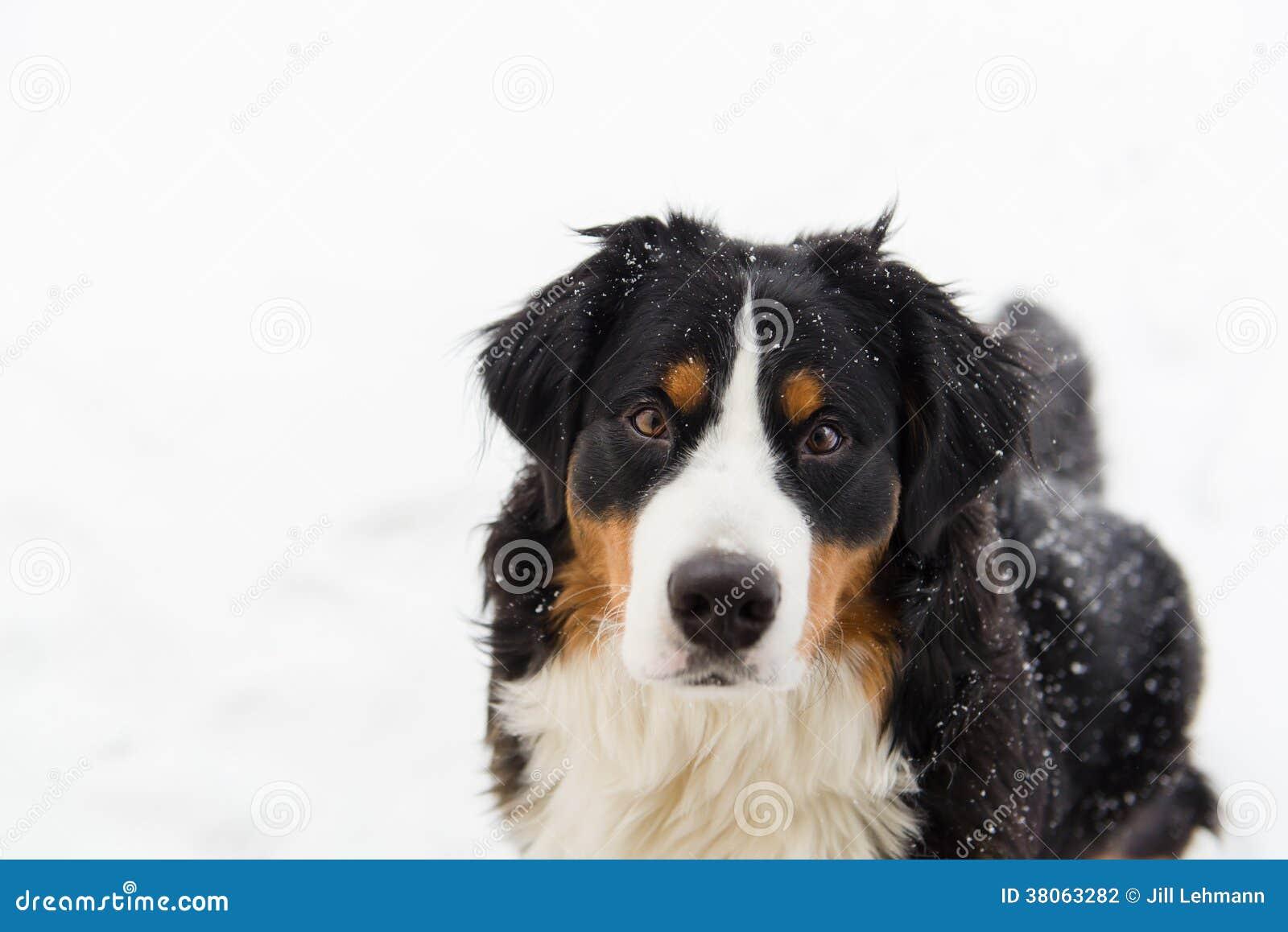 Perro de montaña de Bernese en la nieve