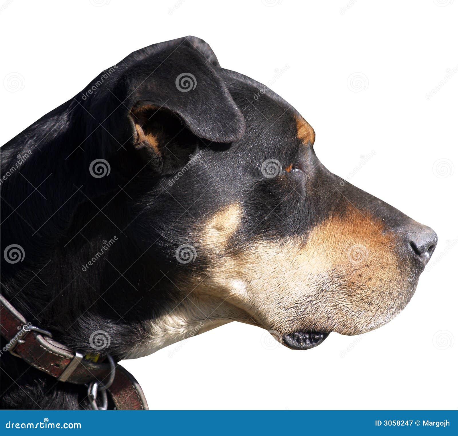 Perro de ovejas de Huntaway
