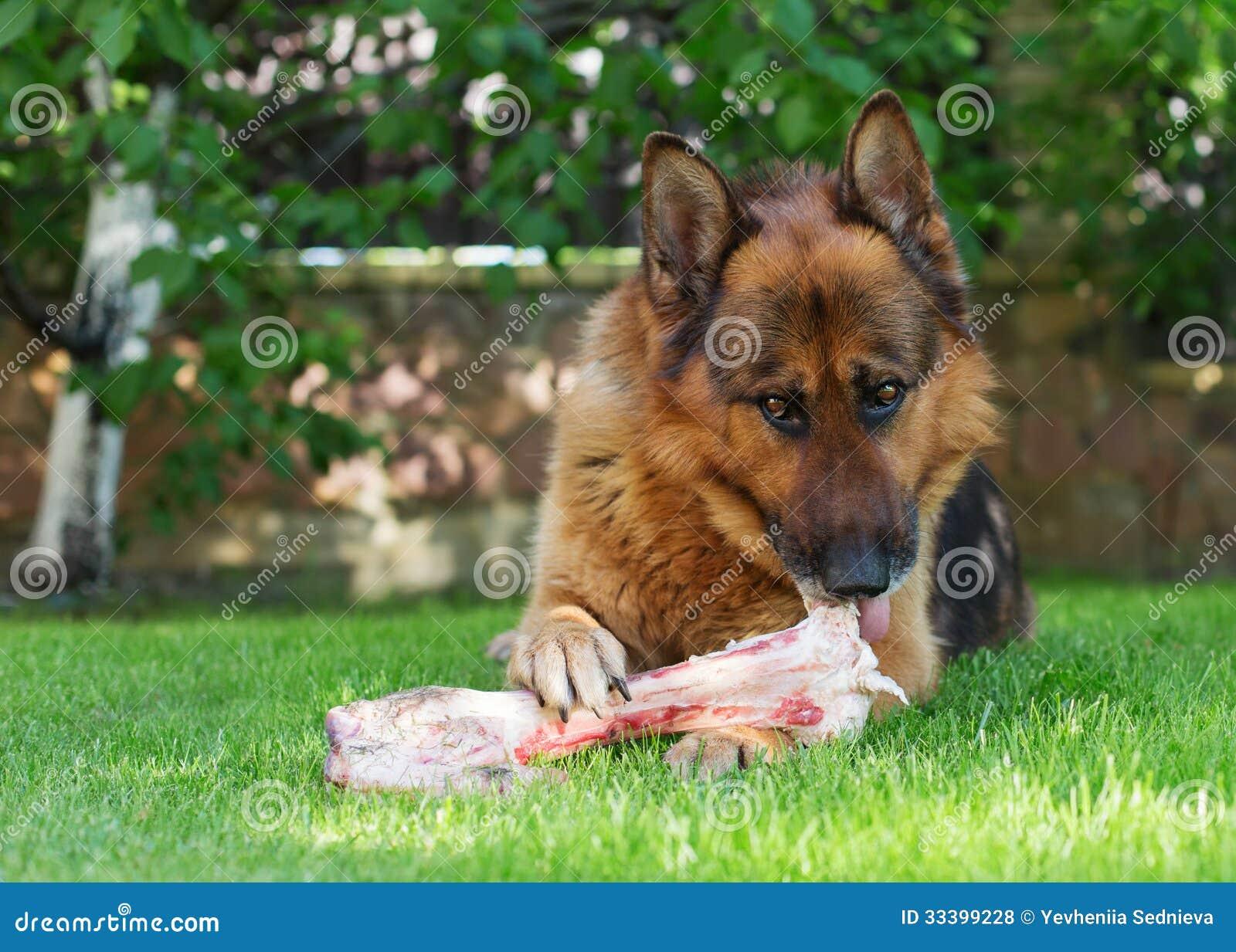 Perro de pastor alemán que mastica en un hueso en jardín