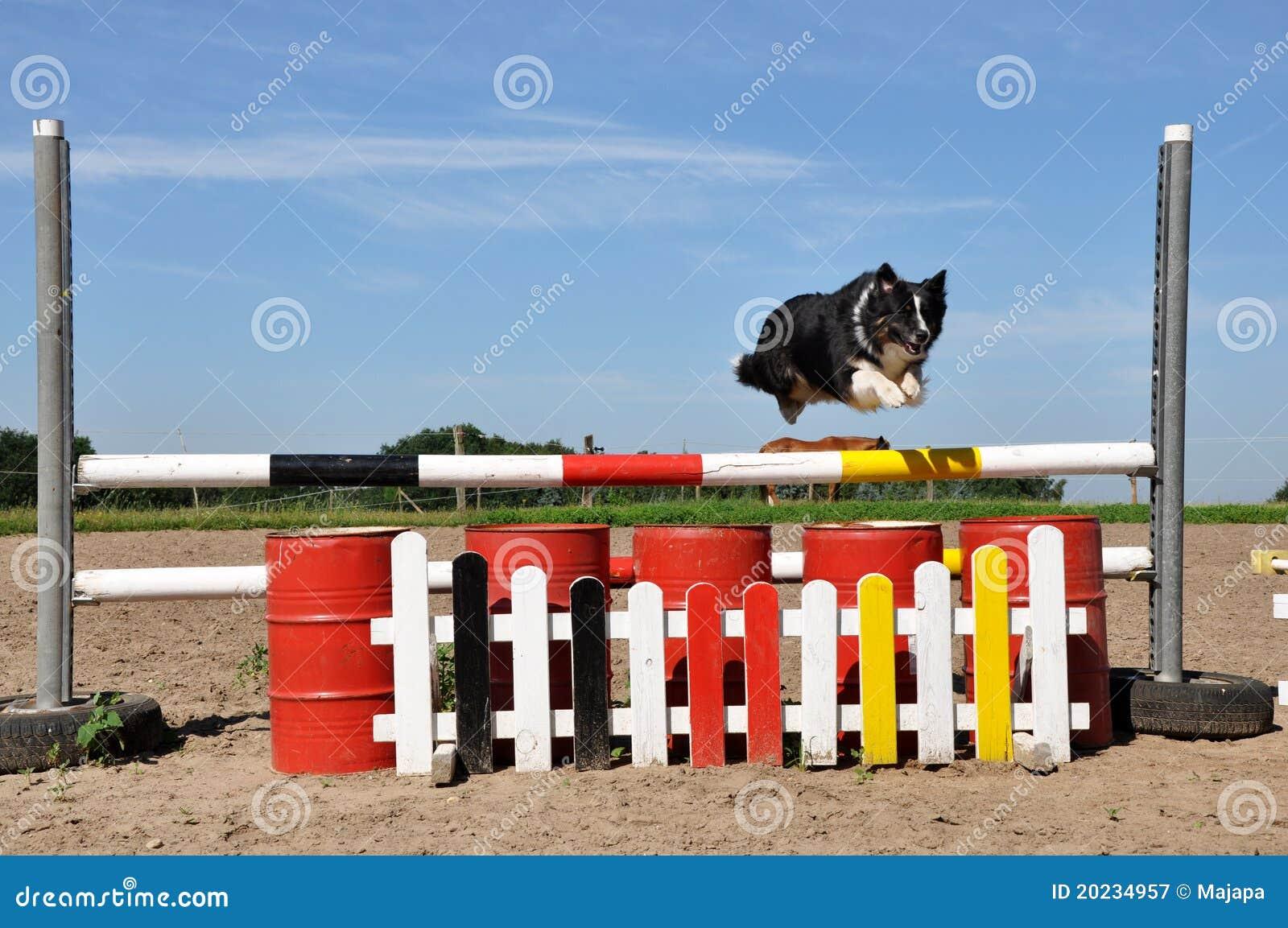 Perro de pastor australiano que vuela