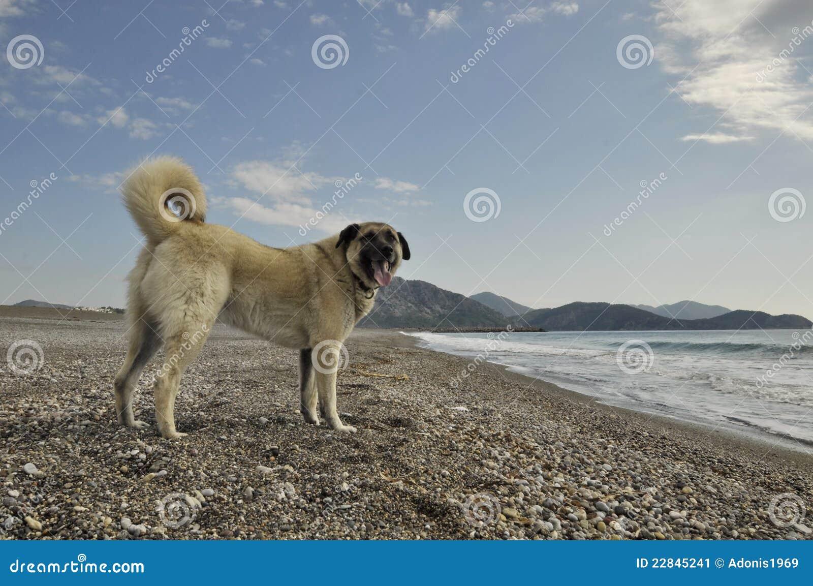 Perro de pastor de Anatolia