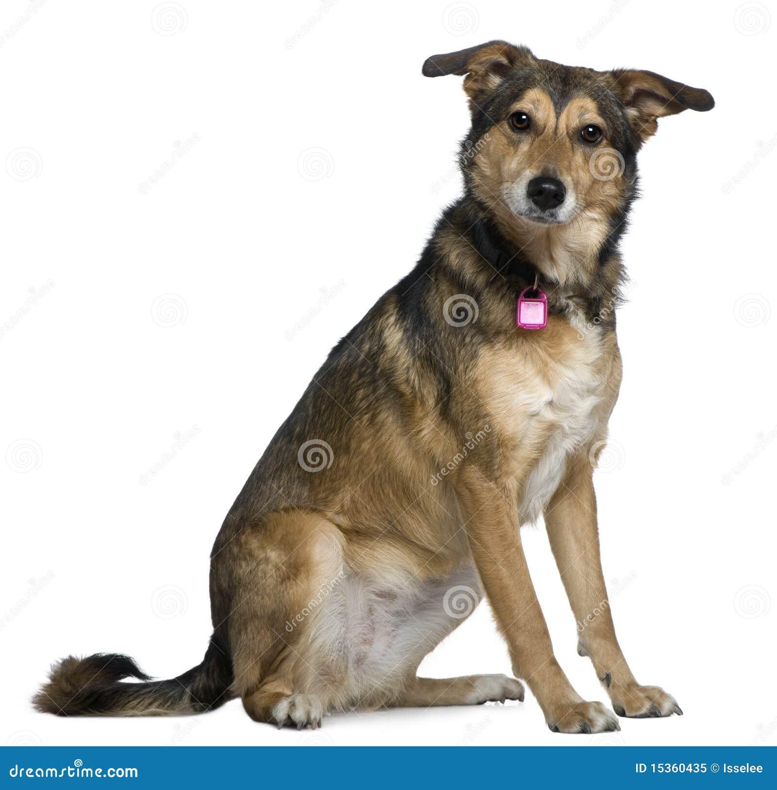 Perro de pastor mezclado, 3 años, sentándose