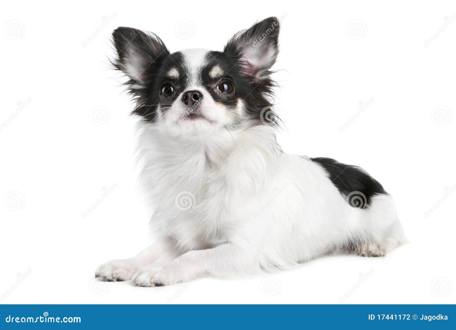 perro chihuahua fondo de - photo #22