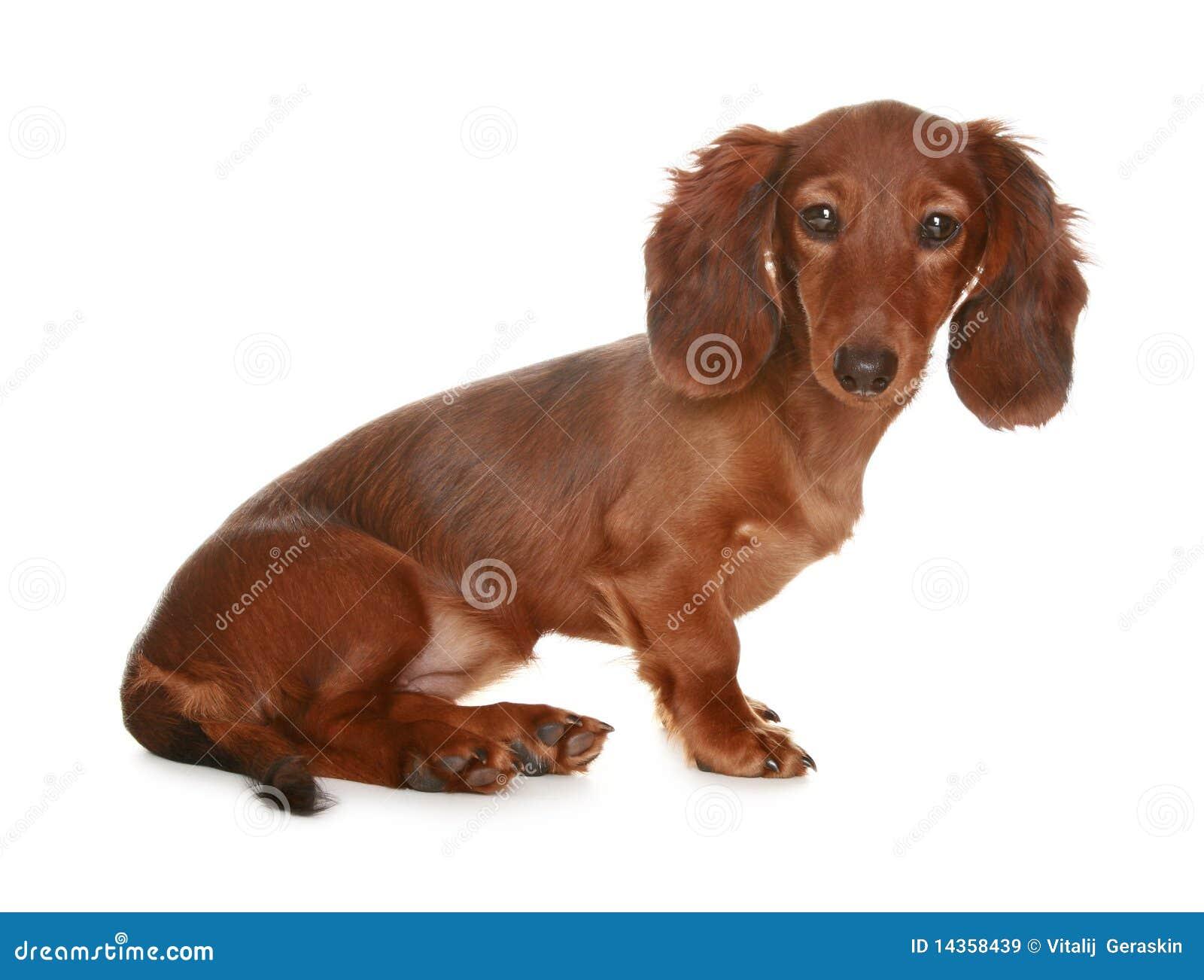 Perro de pelo largo del Dachshund