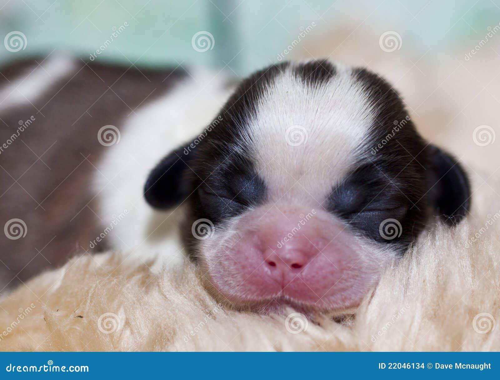 Imagenes de archivo: Perro de perrito de Shih Tzu