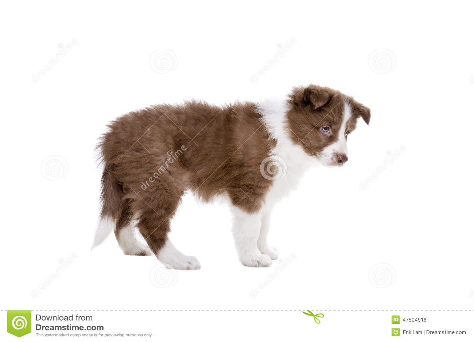 Perro de perrito del border collie