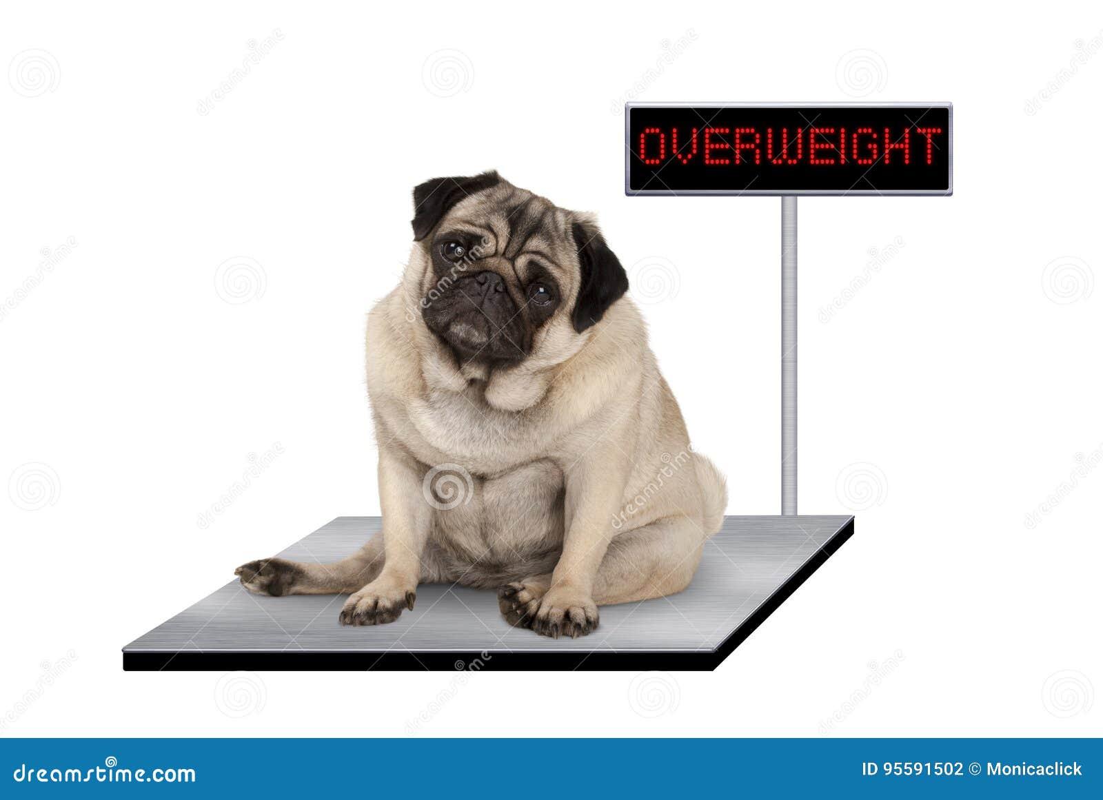 Perro de perrito gordo pesado del barro amasado que se sienta en escala del veterinario con la muestra gorda del LED