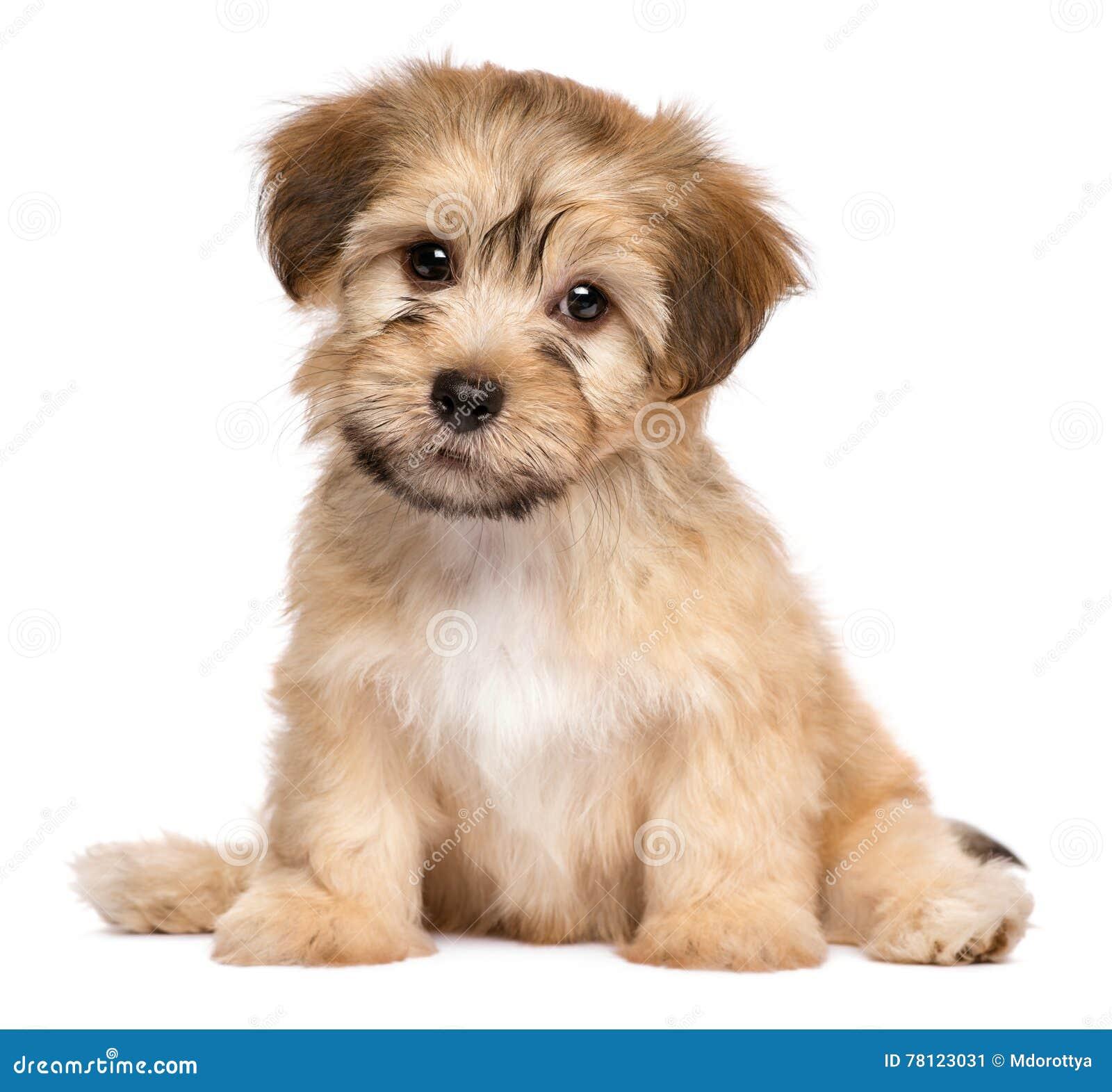 Perro de perrito havanese de la sentada linda