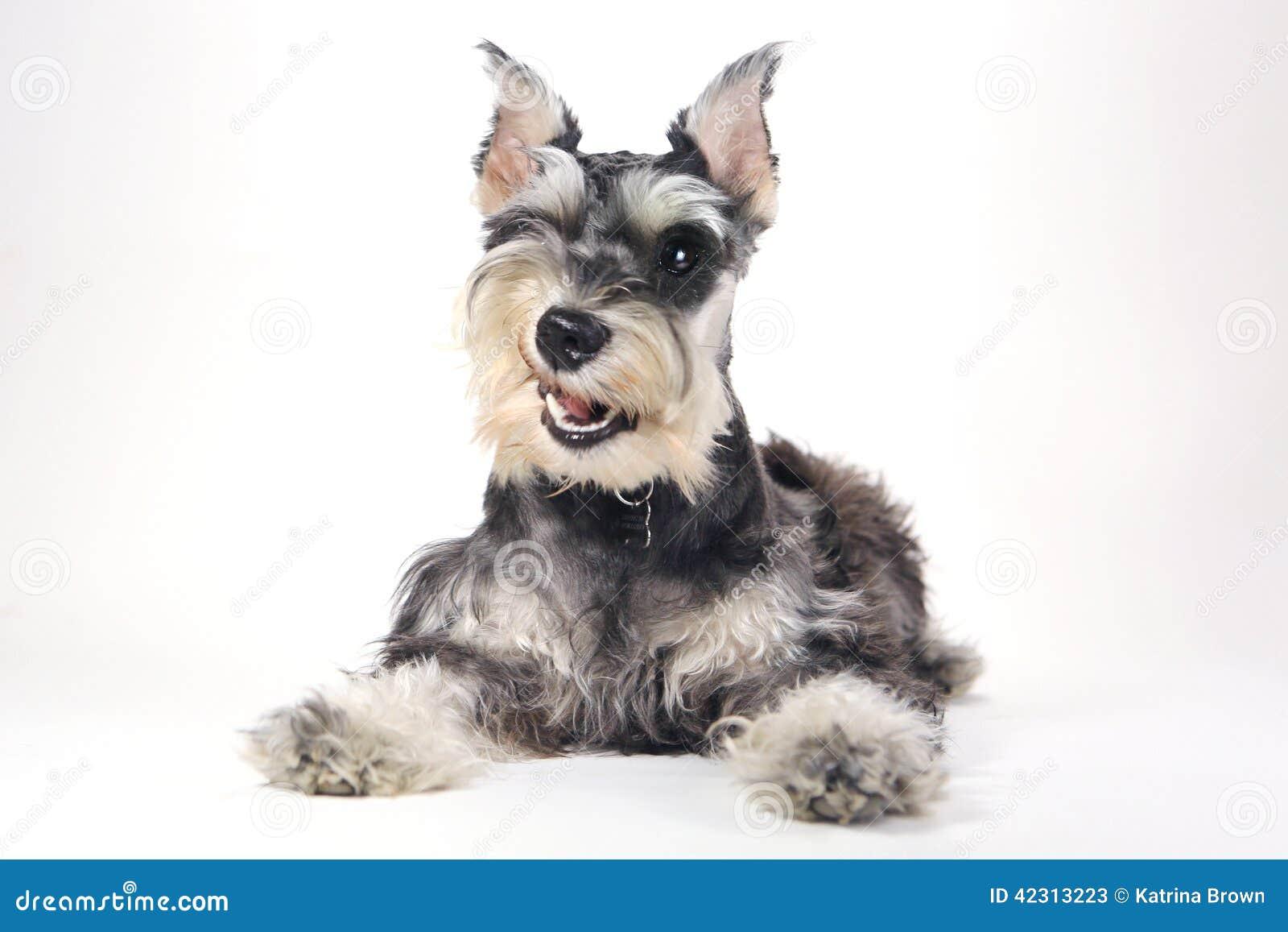Foto de archivo: Perro de perrito lindo del Schnauzer miniatura en el ...