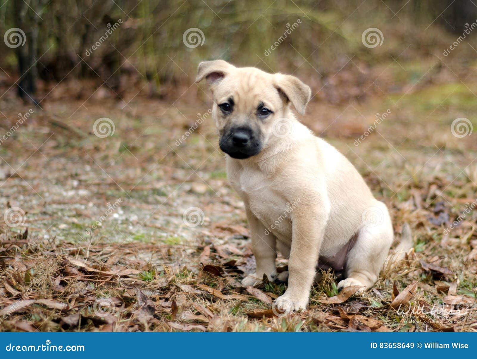 Perro de perrito mezclado rubio de la libra de la raza