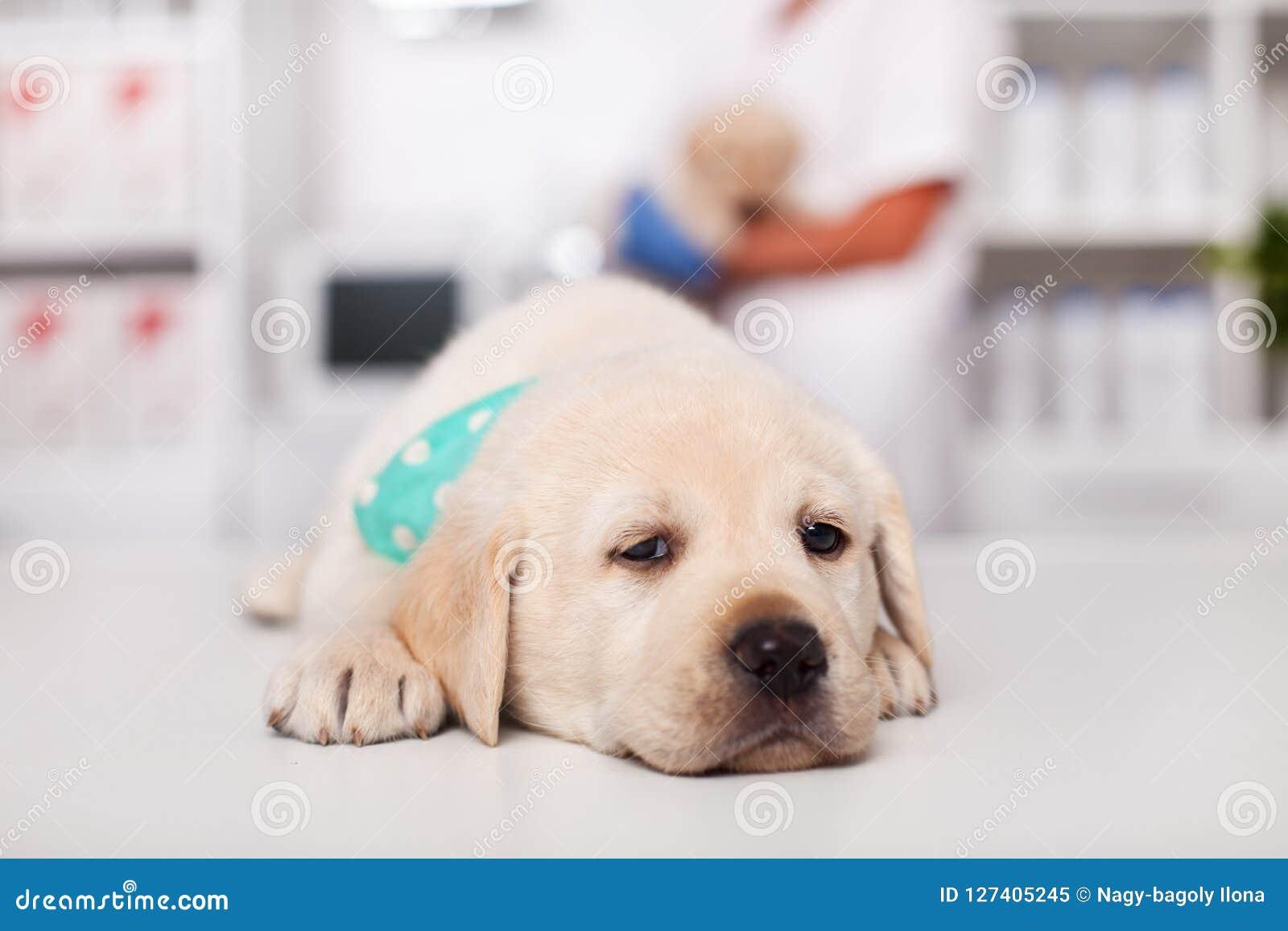 Perro de perrito soñoliento de Labrador que miente en la tabla en el veterinario