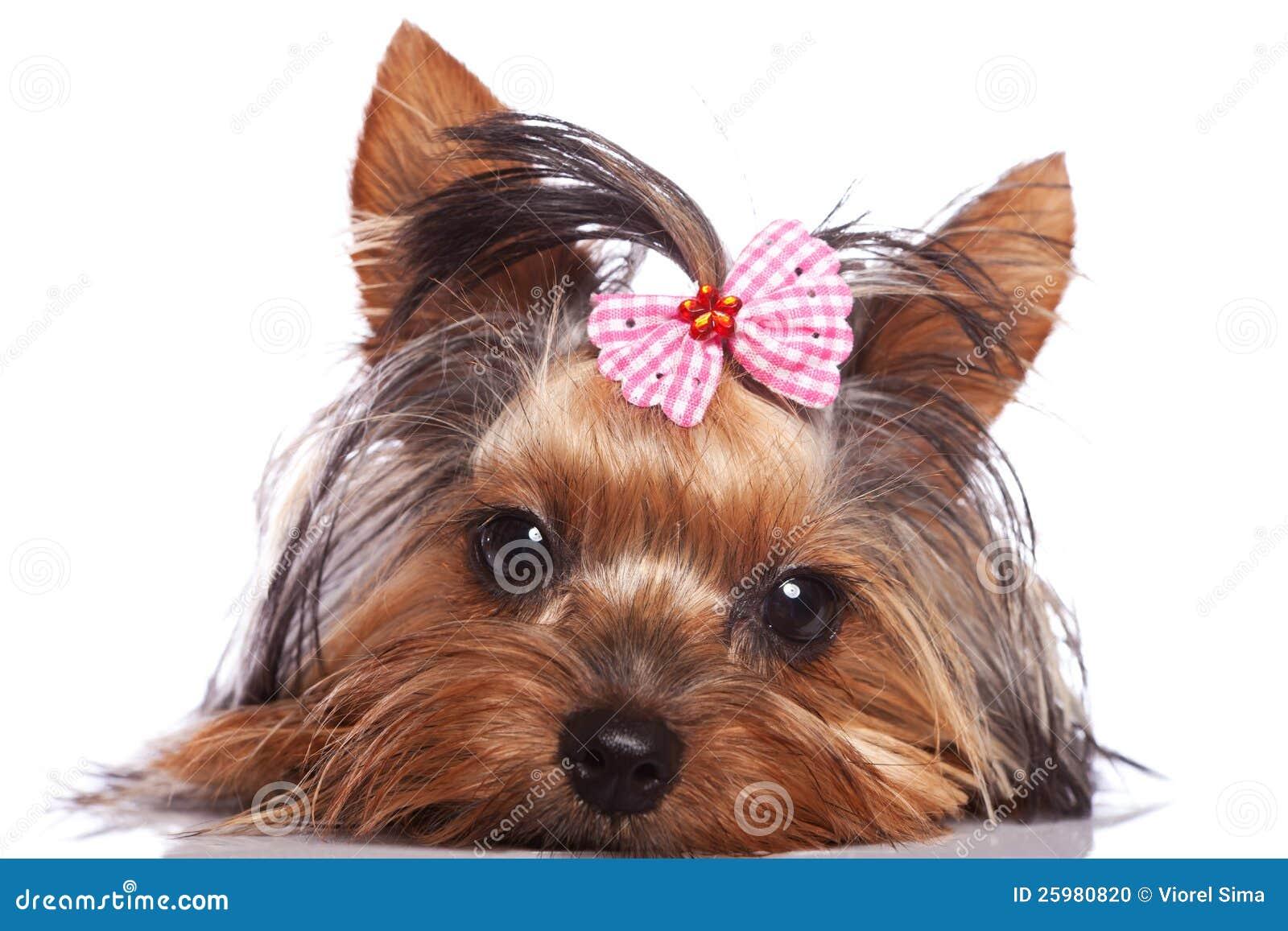 Perro Perrito Triste Del Terrier Yorkshire