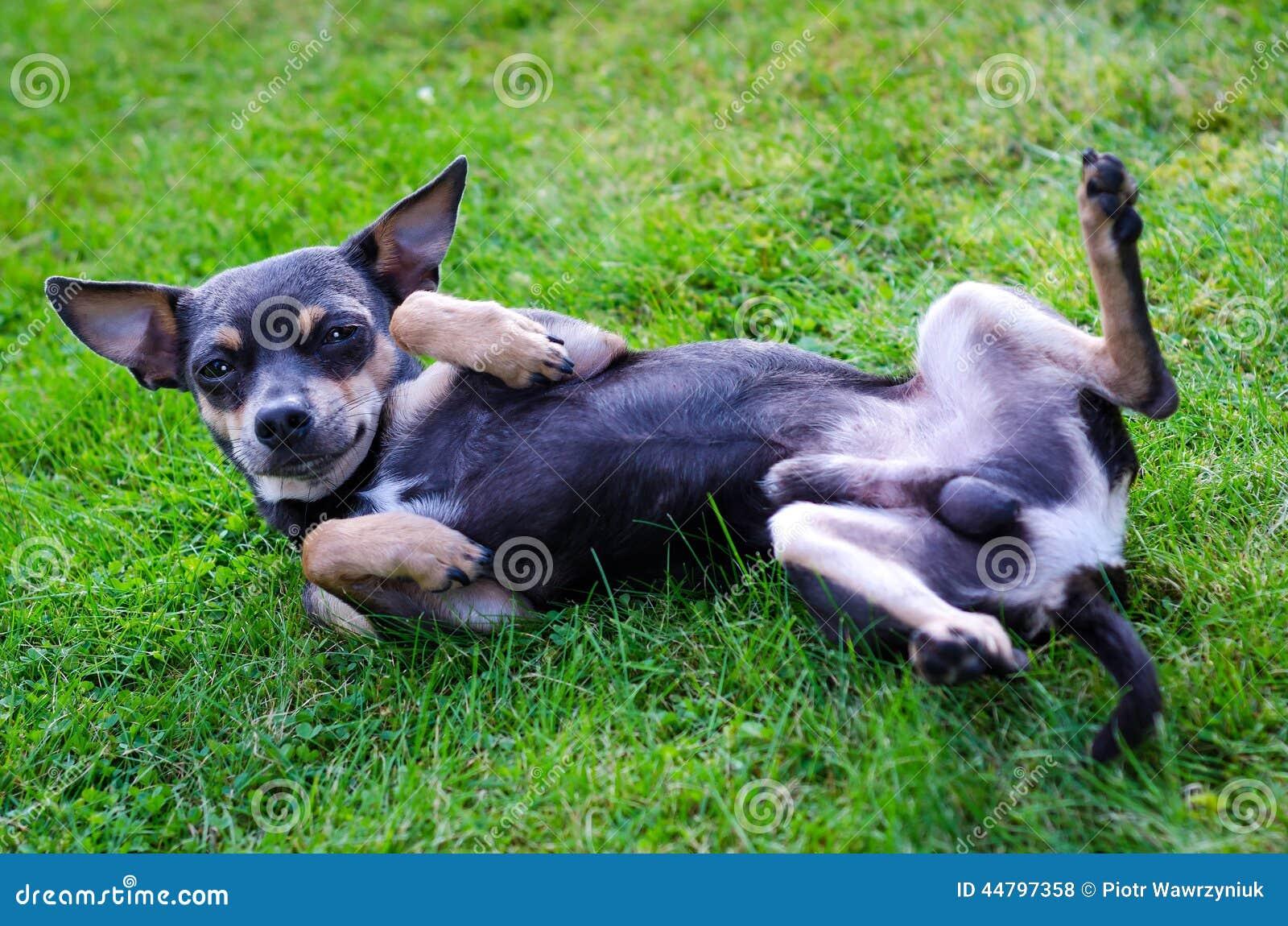 Perro de pincher en la hierba foto de archivo imagen for Ahuyentar perros del jardin