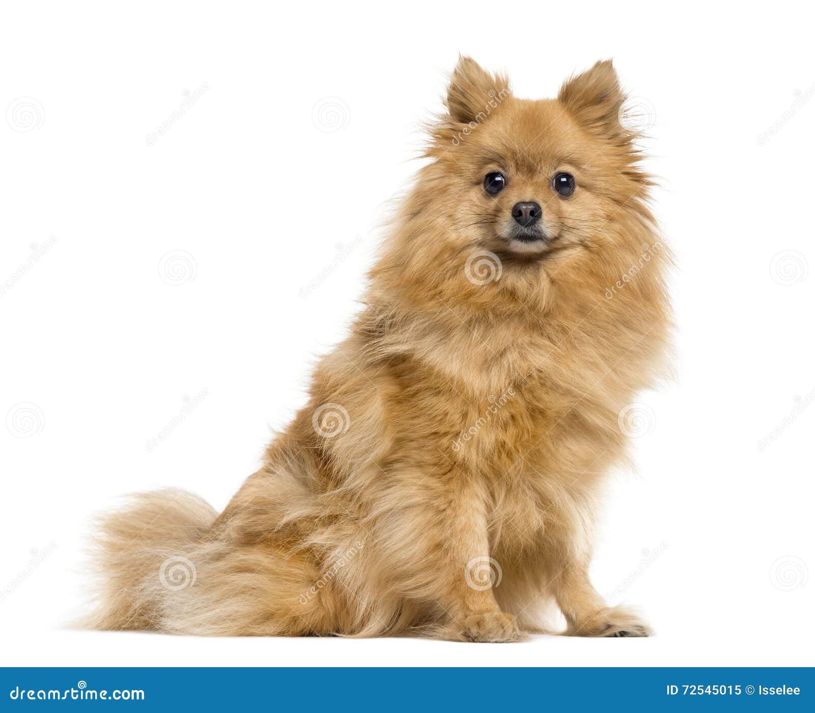 Perro de Pomerania alemán en blanco