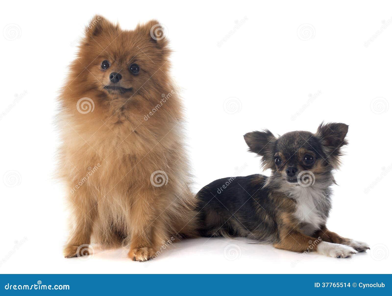 perro chihuahua fondo de - photo #15