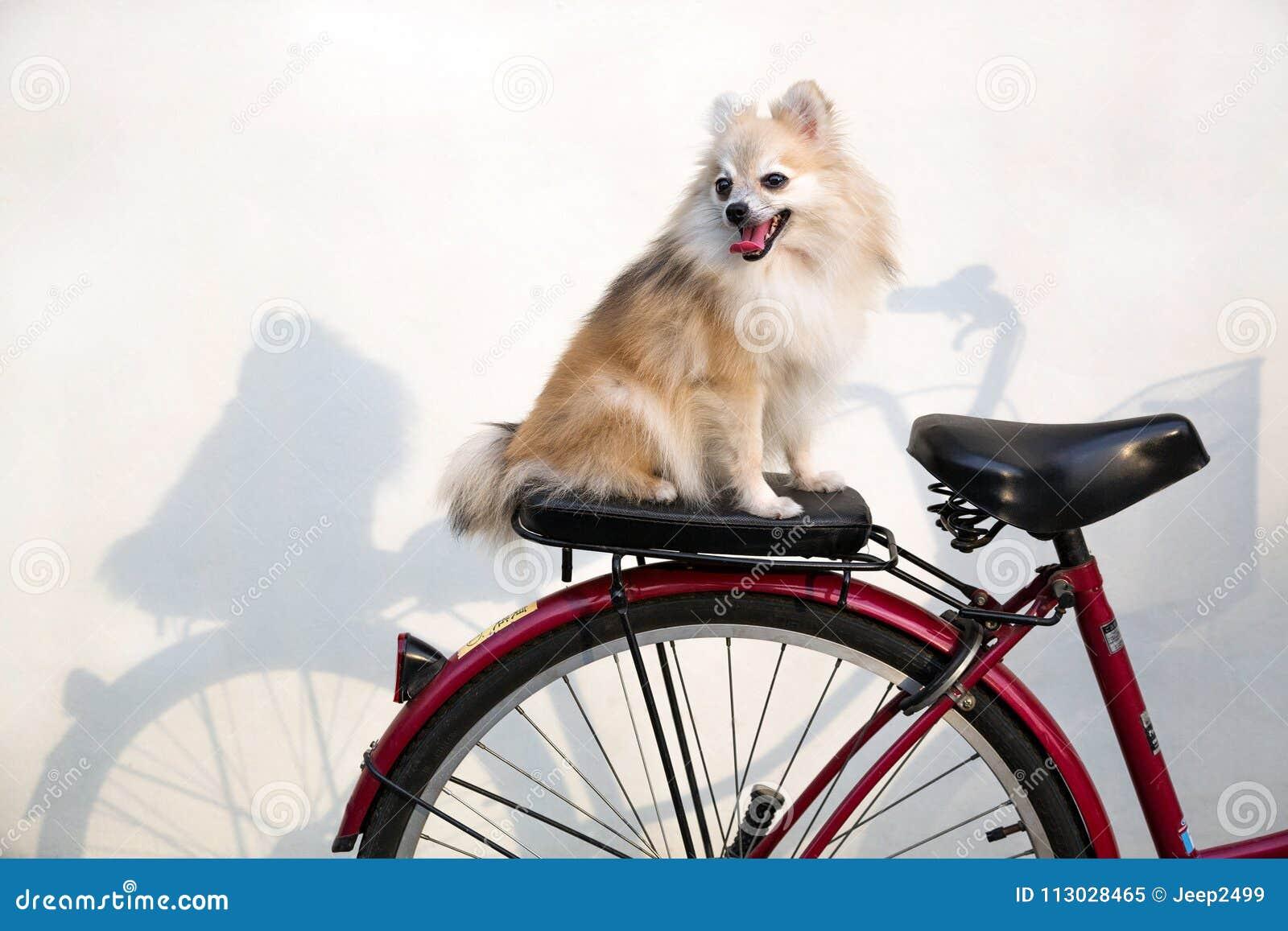 Perro de Pomeranian que se sienta en la bici