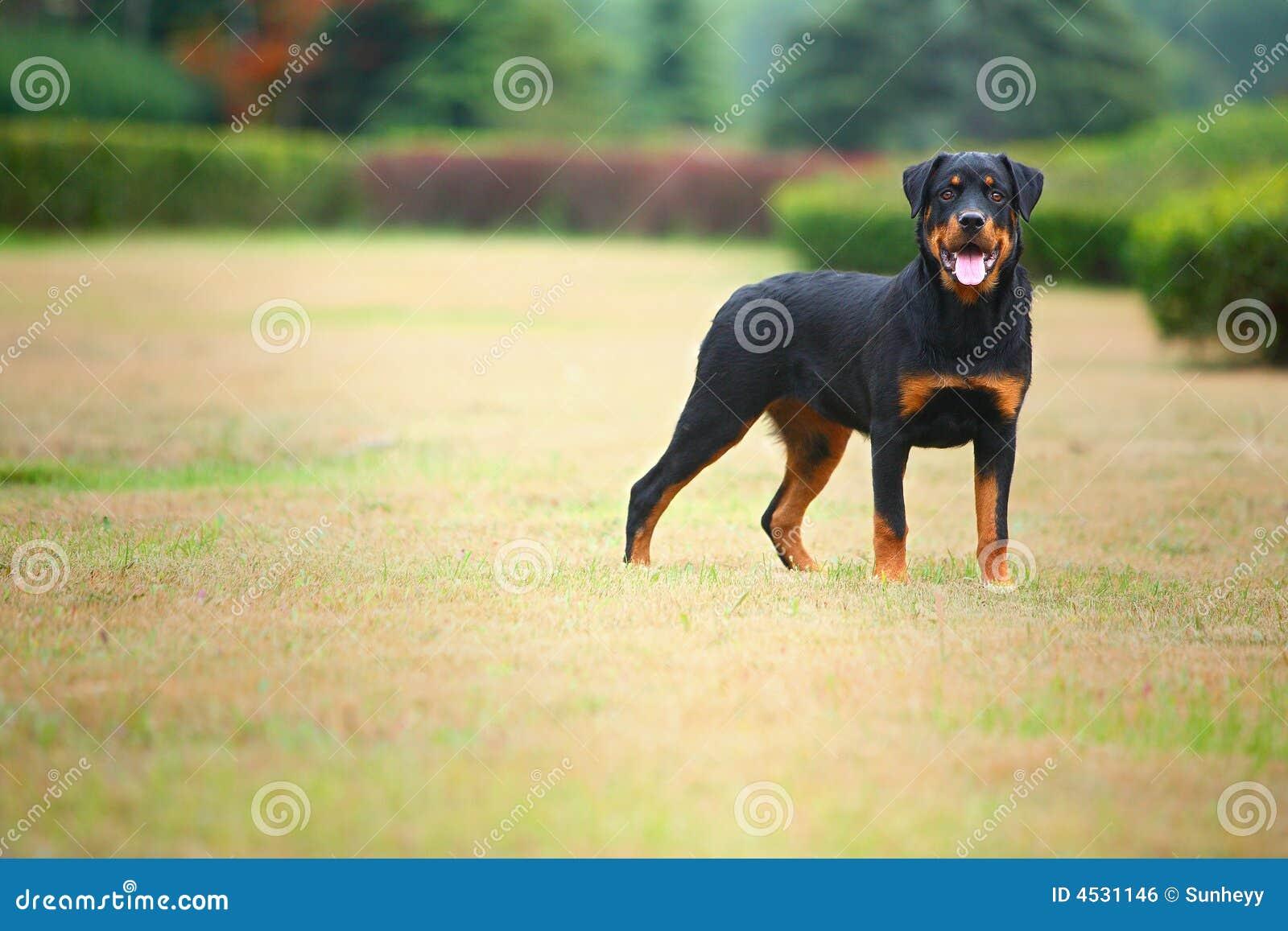 Perro de Rottweiler