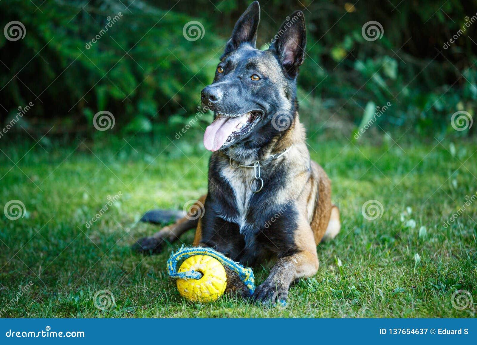 Perro de Shepdog del belga, descansando sobre la tierra con un juguete