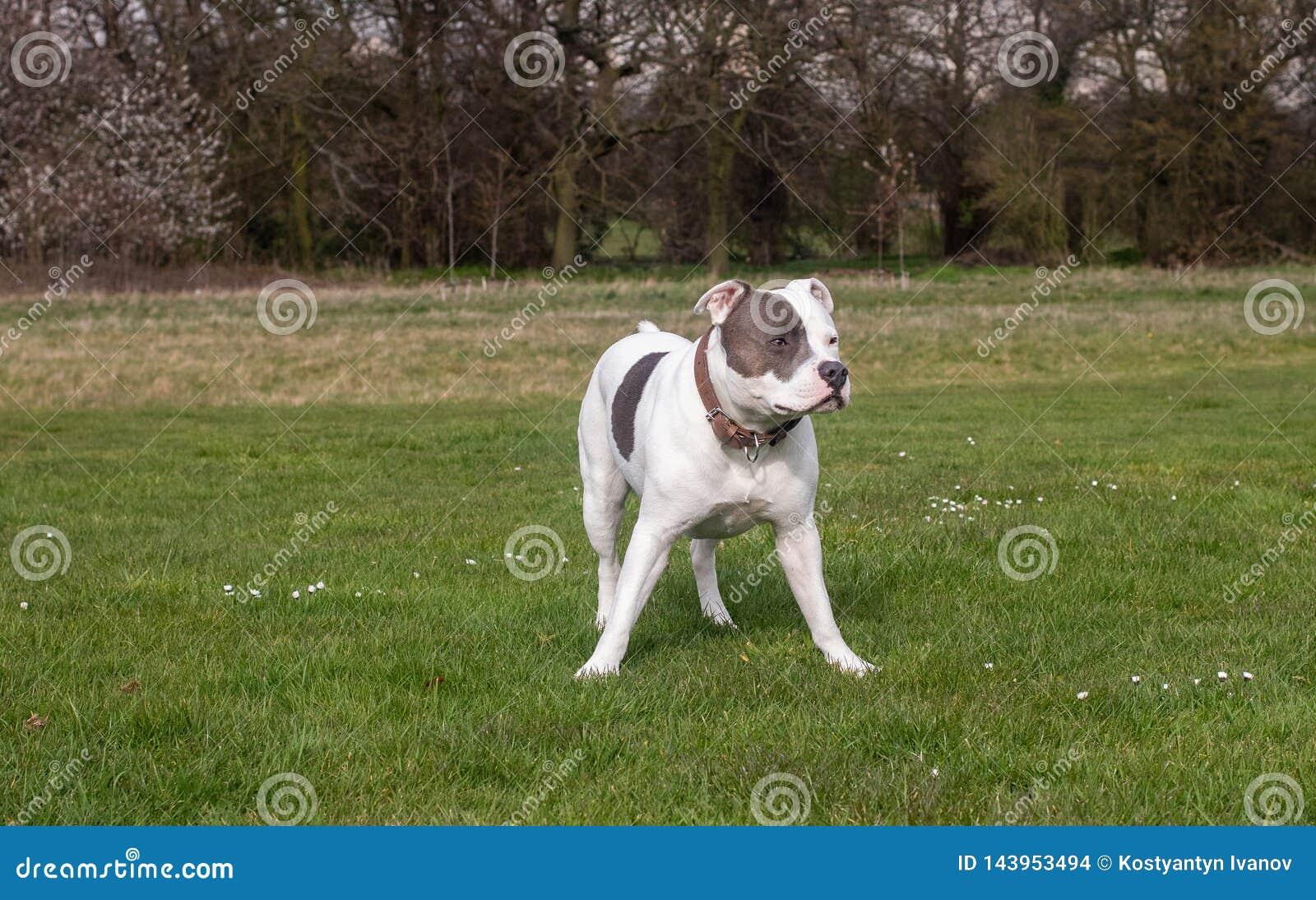 Perro de Staffordshire bull terrier que camina en parque