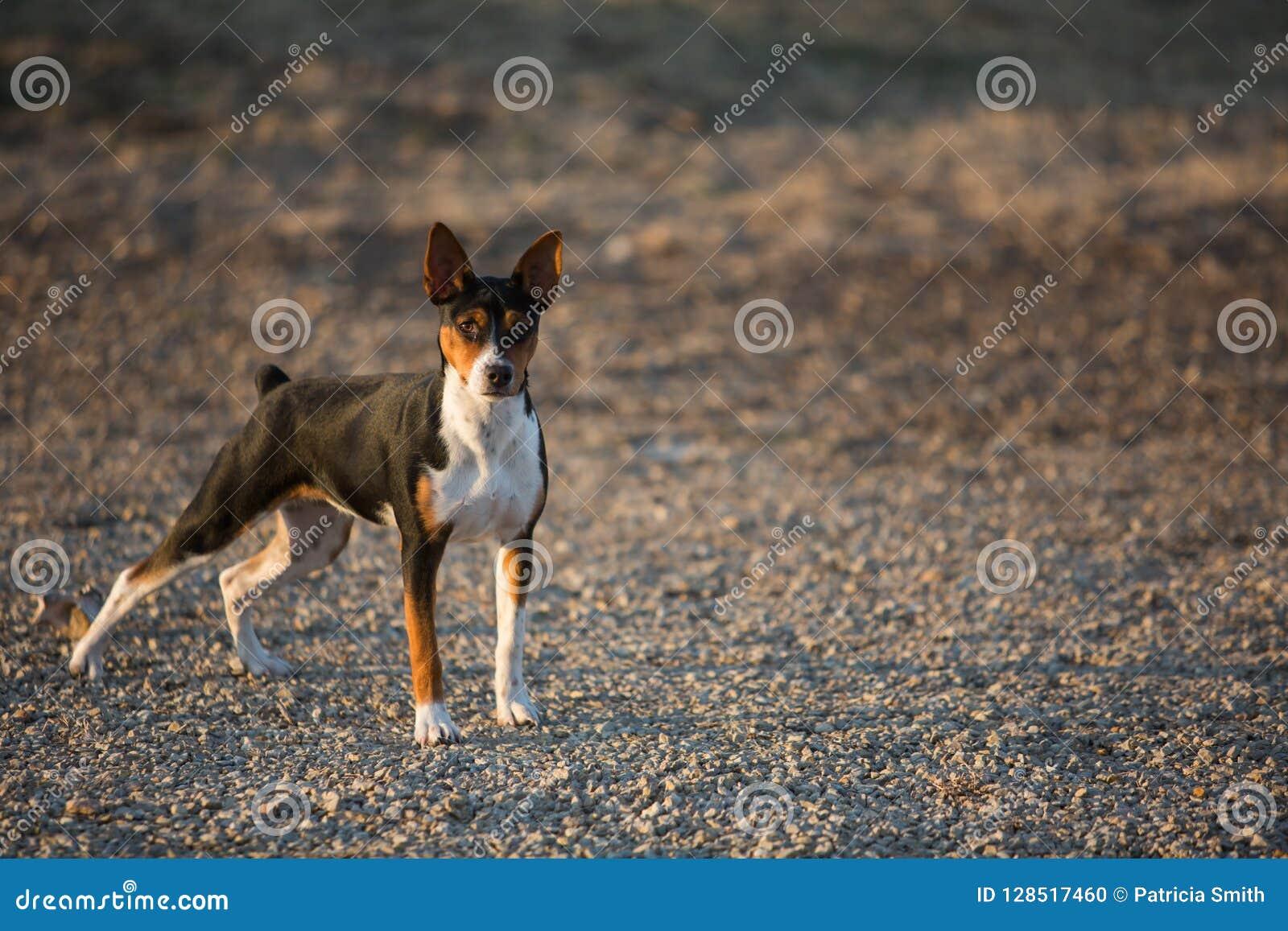 Perro de Terrier de rata en el camino de la grava