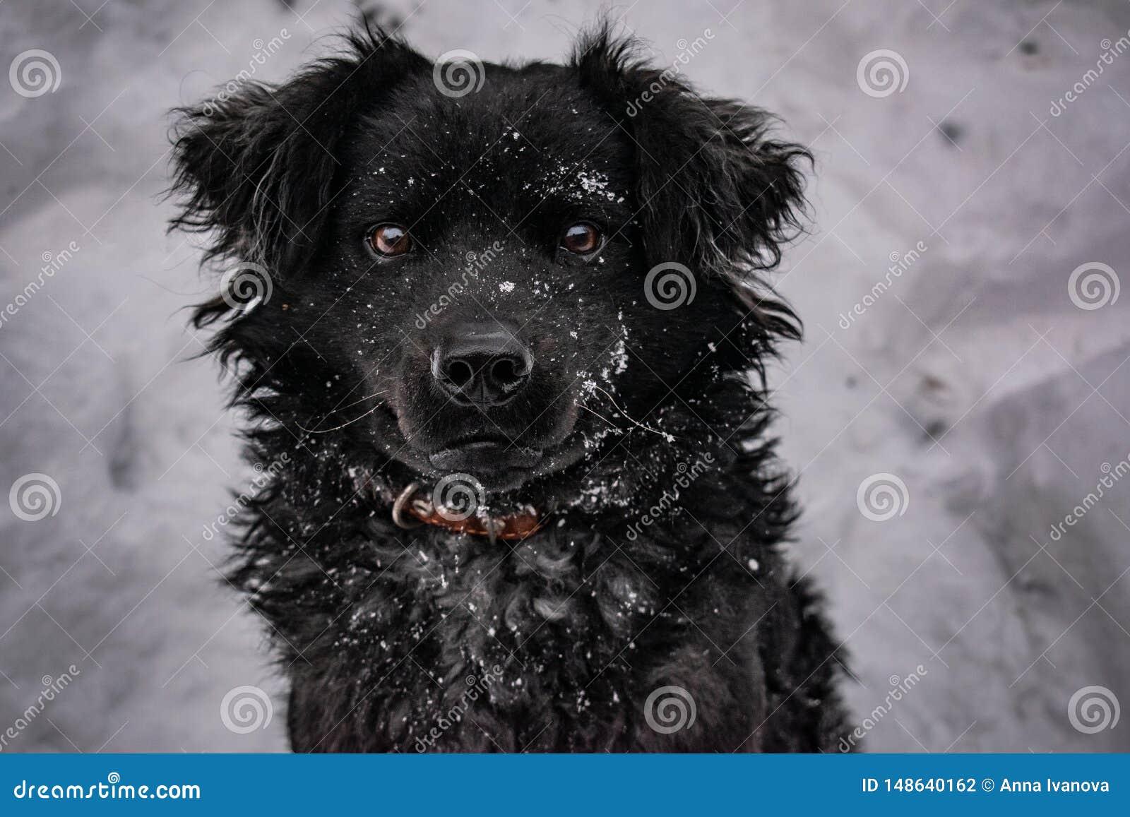 Perro de yarda negro, con el pelo lanudo, perro perdiguero Invierno, tiempo escarchado y mucha nieve blanca