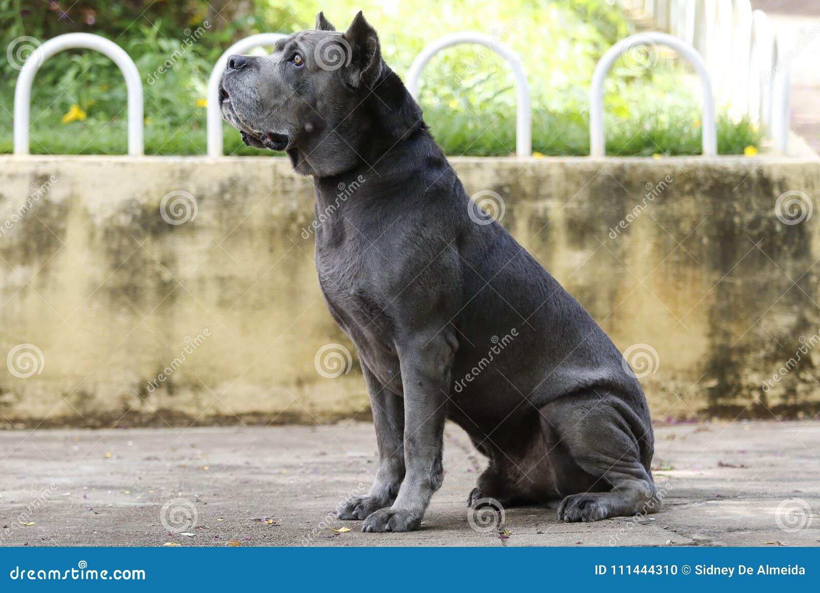 Perro Del Adulto De Cane Corso Del Perrito Foto De Archivo Imagen