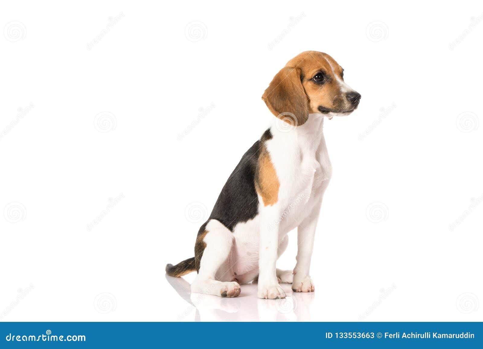 Perro del beagle aislado en blanco