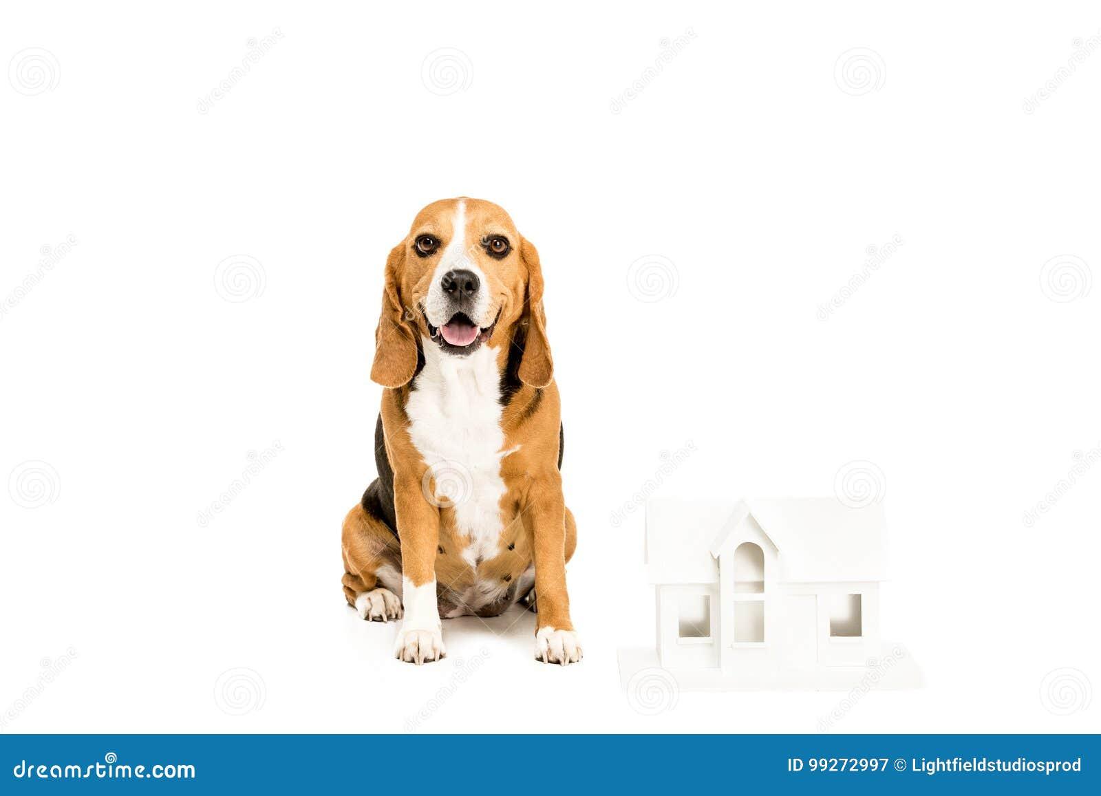 Perro Del Beagle Con El Modelo De Papel De La Casa Imagen de archivo ...
