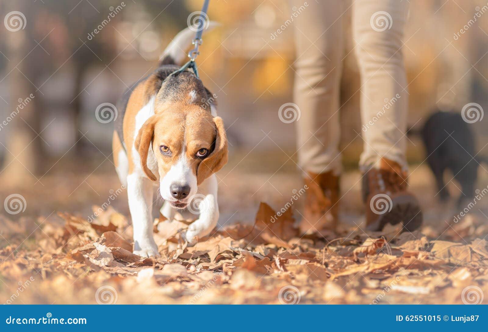 Perro del beagle con la muchacha en paseo