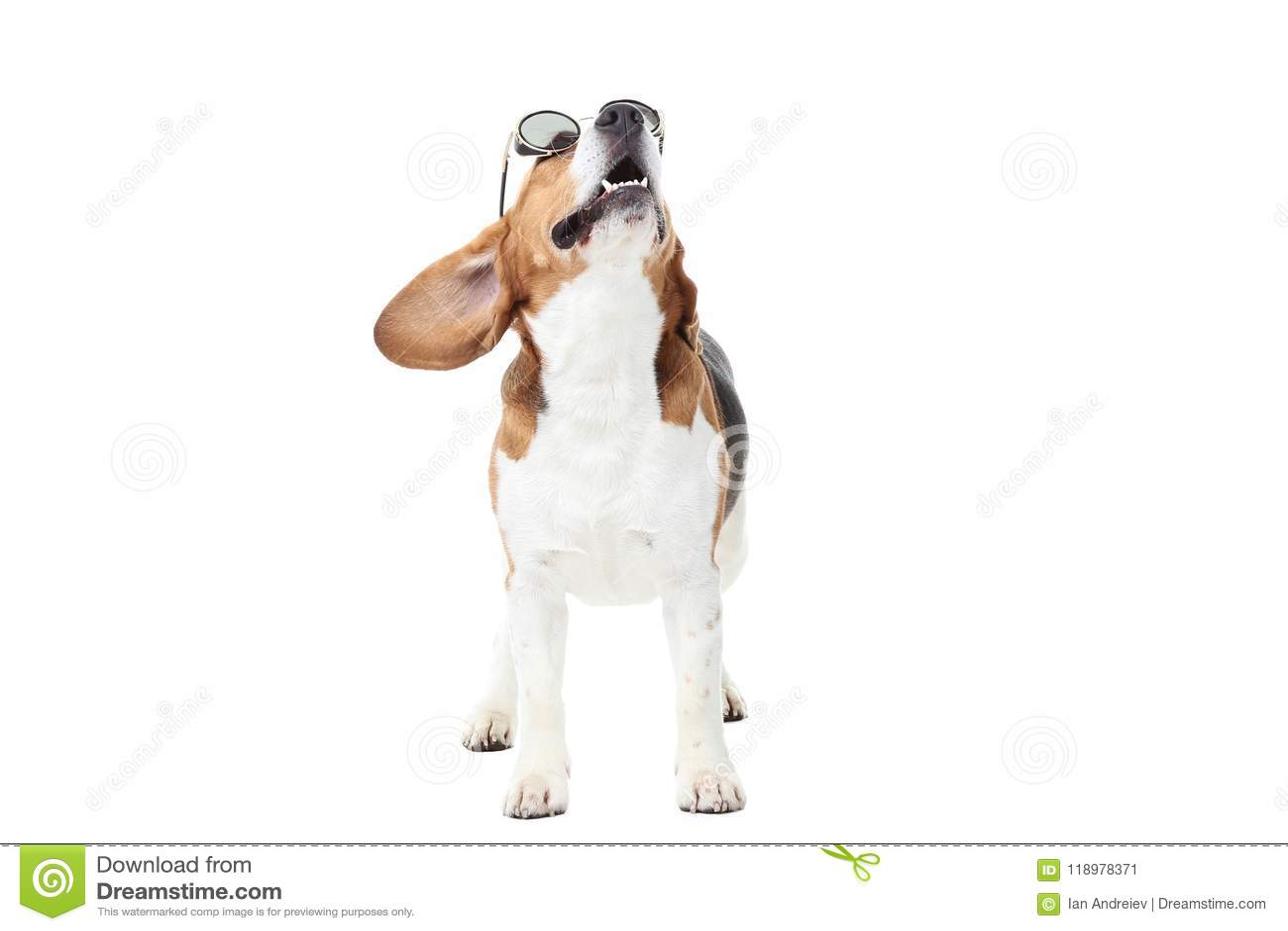 Sol Gafas Archivo De Beagle Perro Imagen En Del c4q3A5LRj