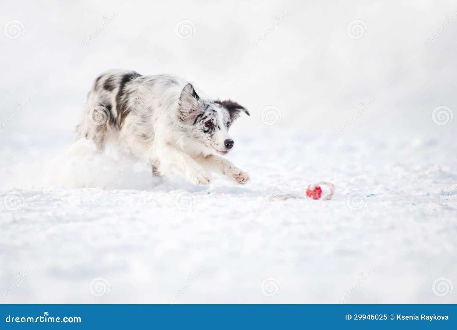 Funcionamiento del perro del border collie para coger un juguete en invierno
