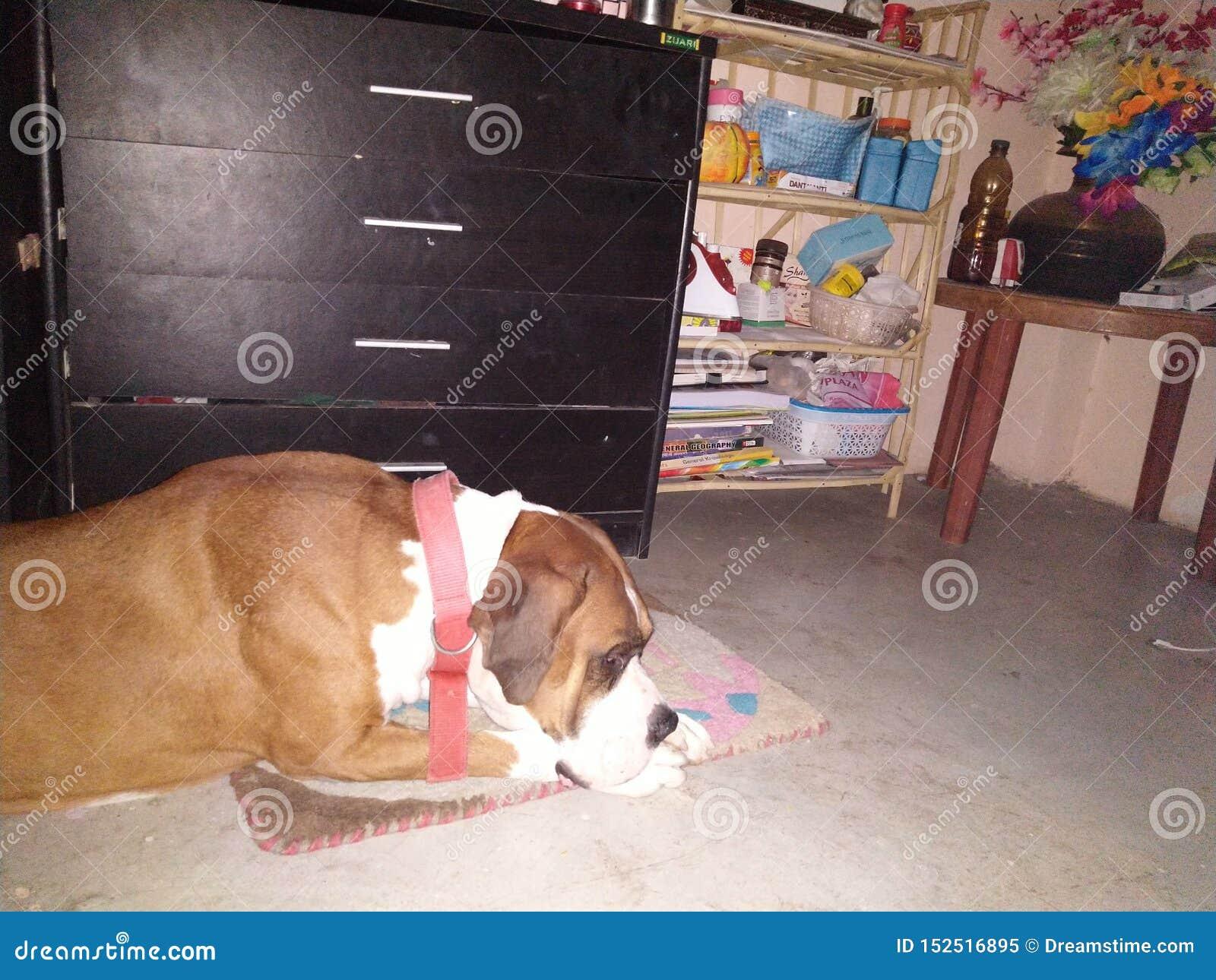 Perro del boxeador en humor el dormir