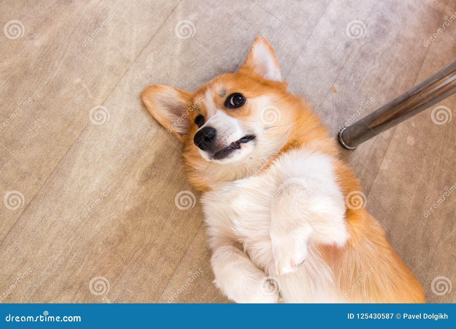 Perro del Corgi del perrito del pelirrojo