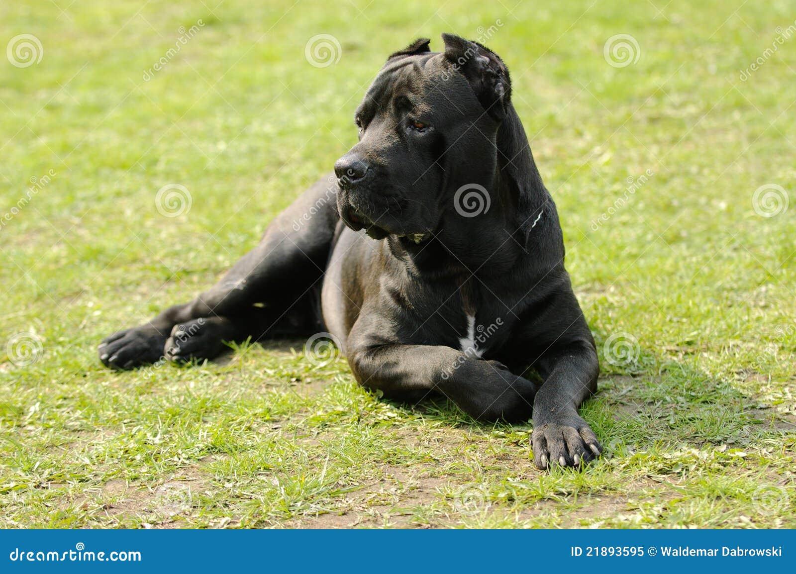 Perro del corso del bastón