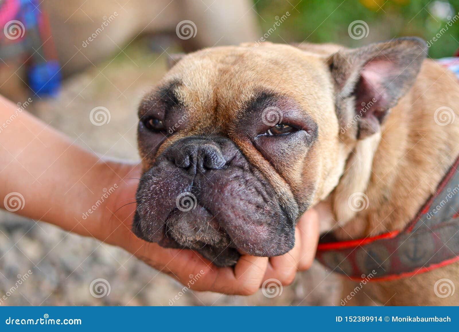 Perro del dogo francés con la cara hinchada y los ojos hinchados rojos después de sufrir una reacción alérgica