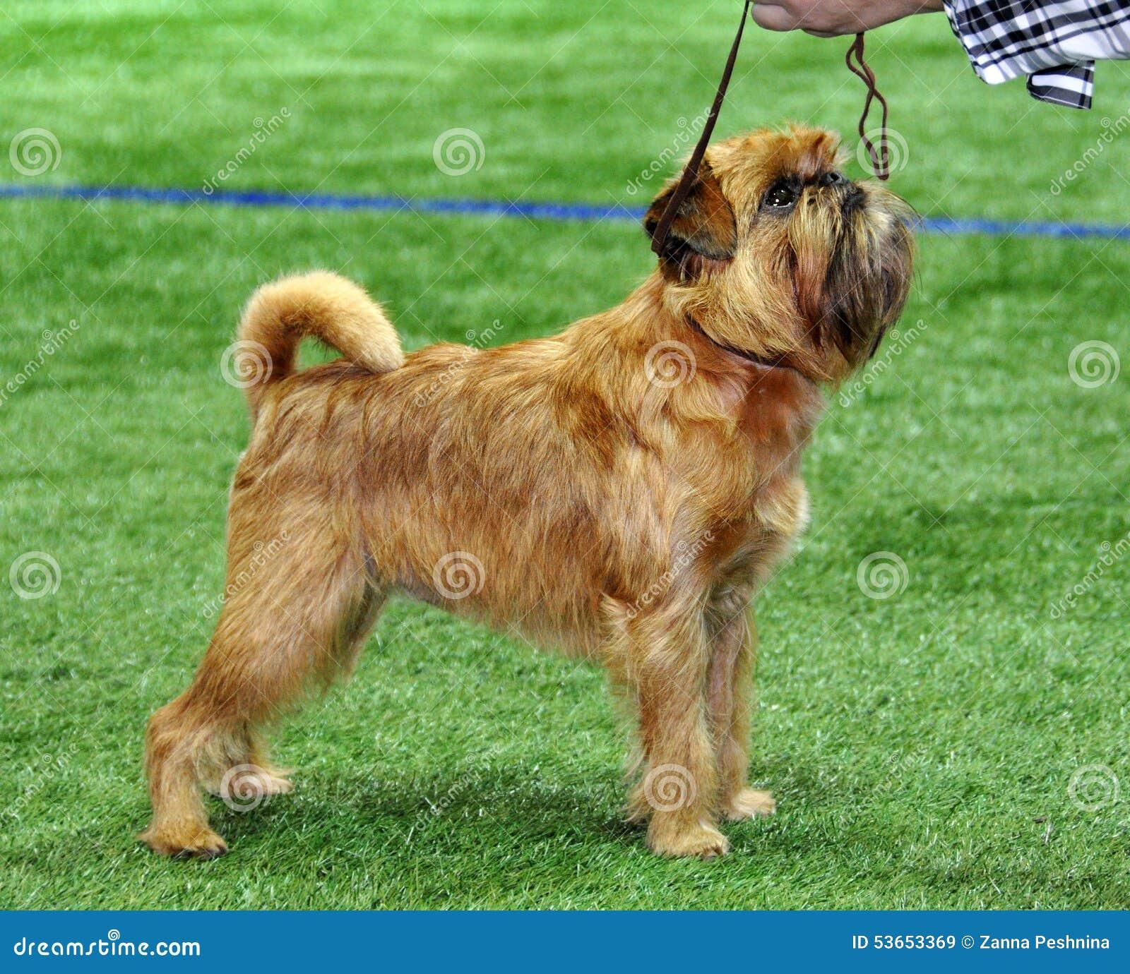 Perro del griffon de Bruselas