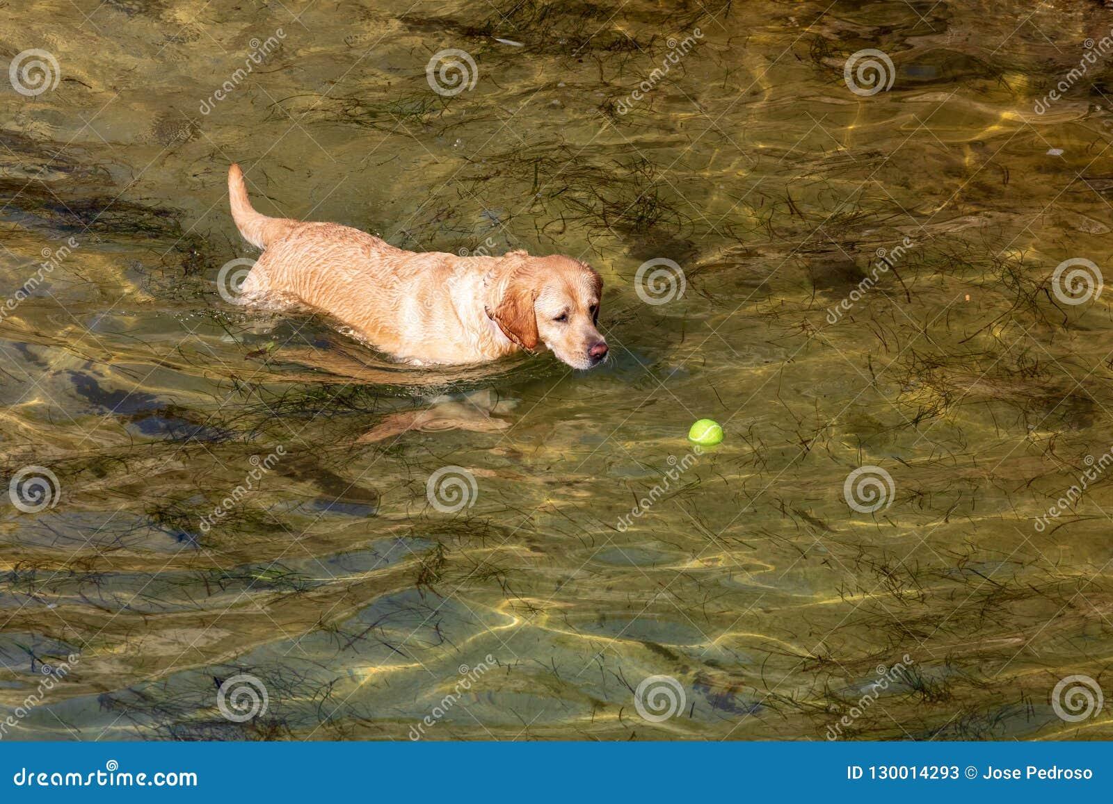 Perro del labrador retriever de la raza foreground Pelo corto y ligero