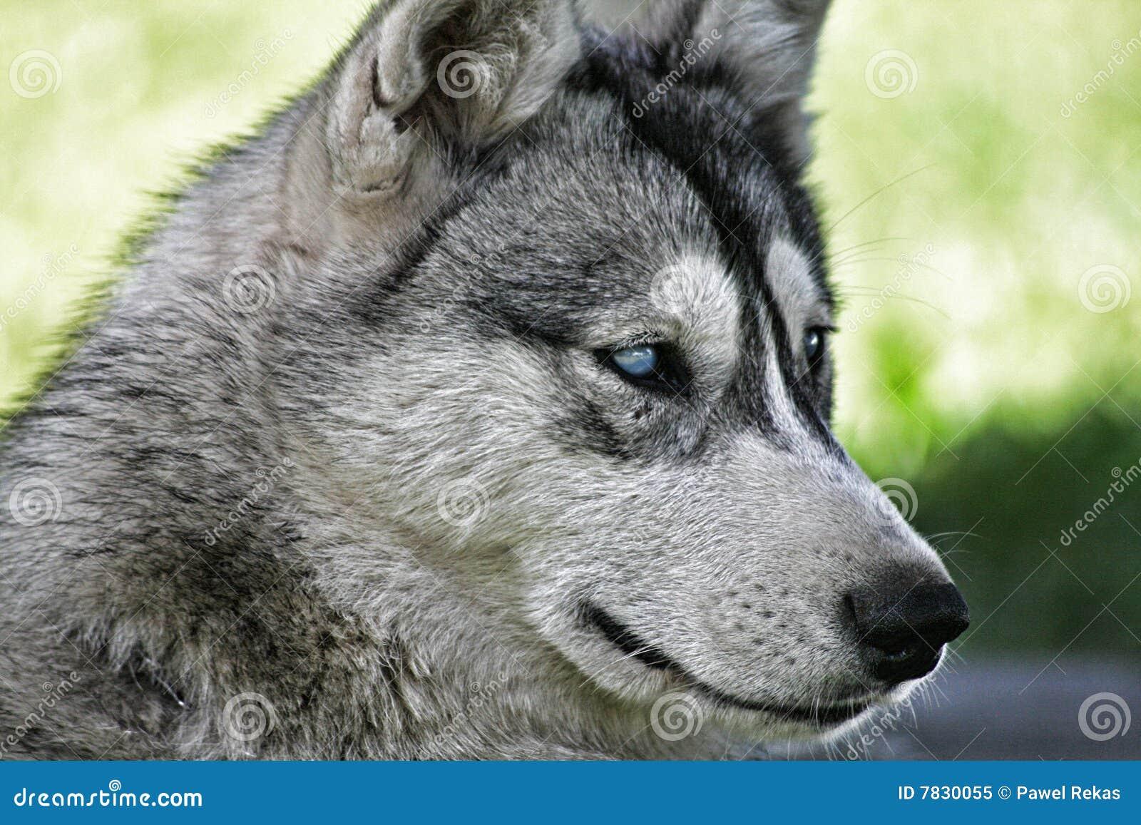 Perro del Malamute