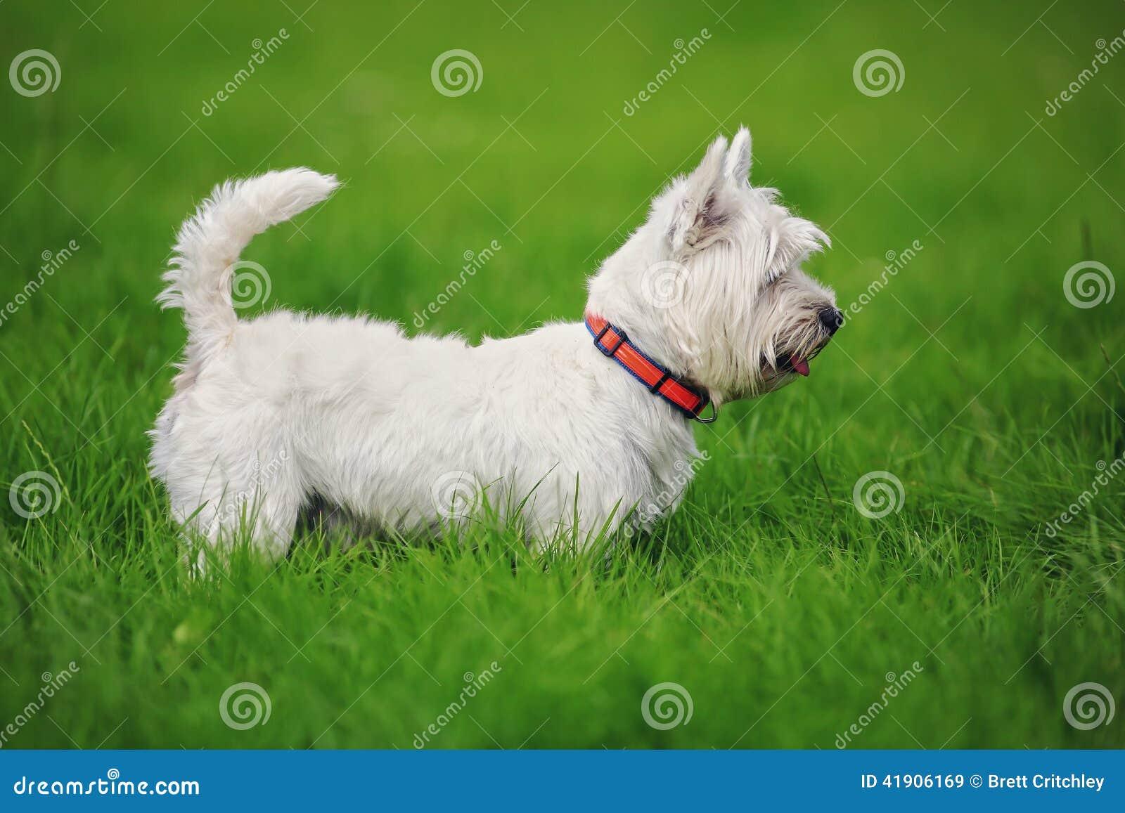 Perro del oeste blanco del terrier de la montaña