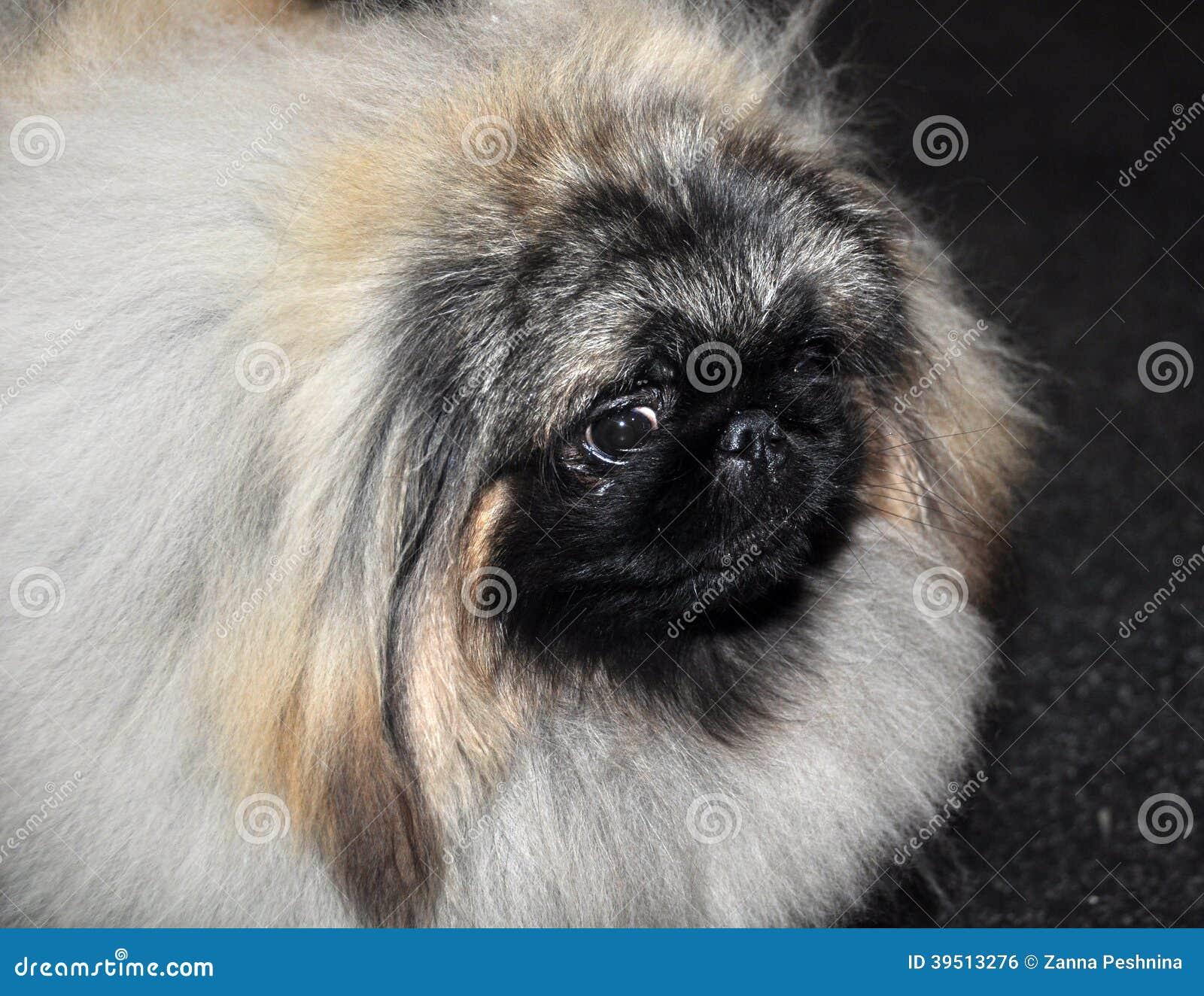 Perro del pekinés